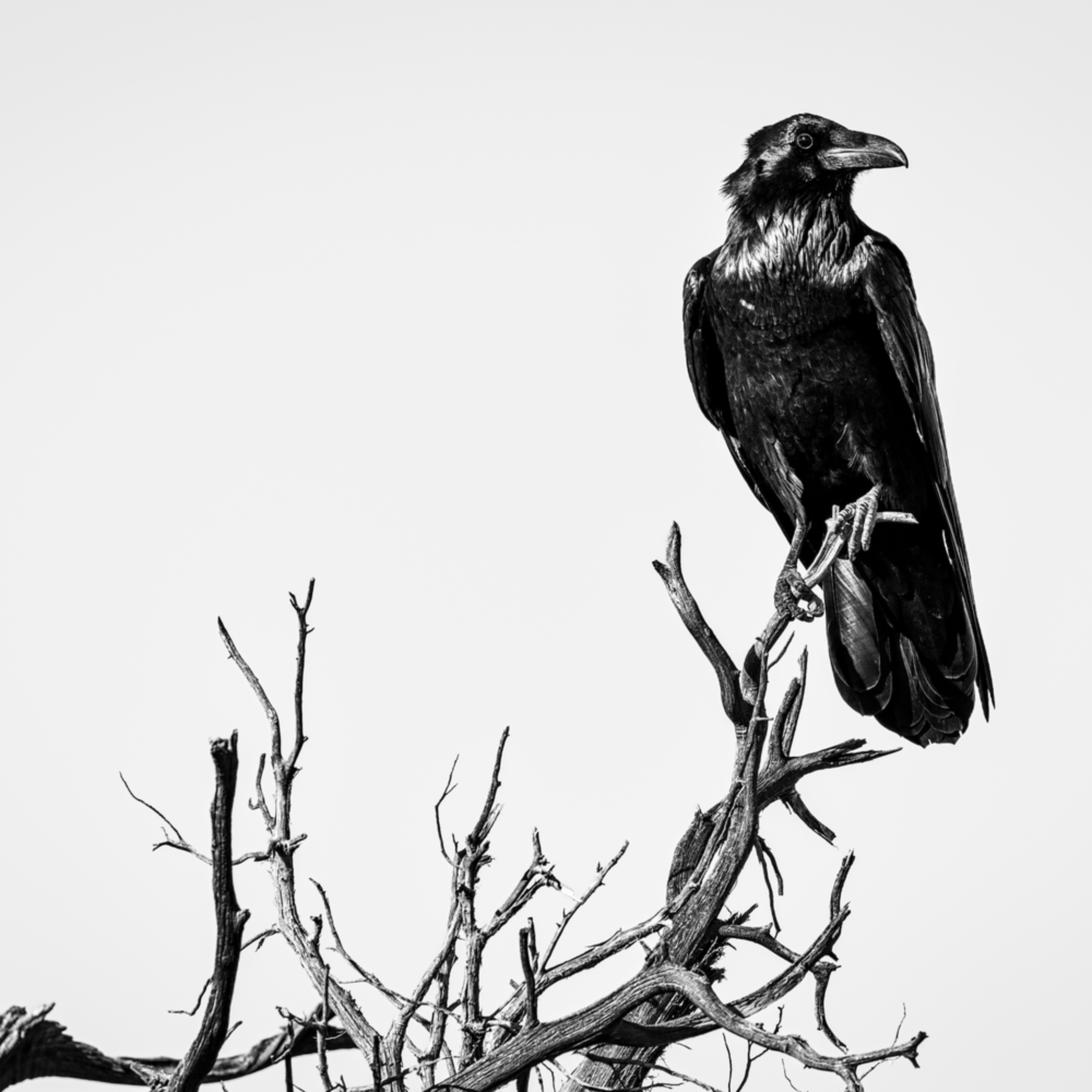 Andy crawford photography raven 1 uclav3