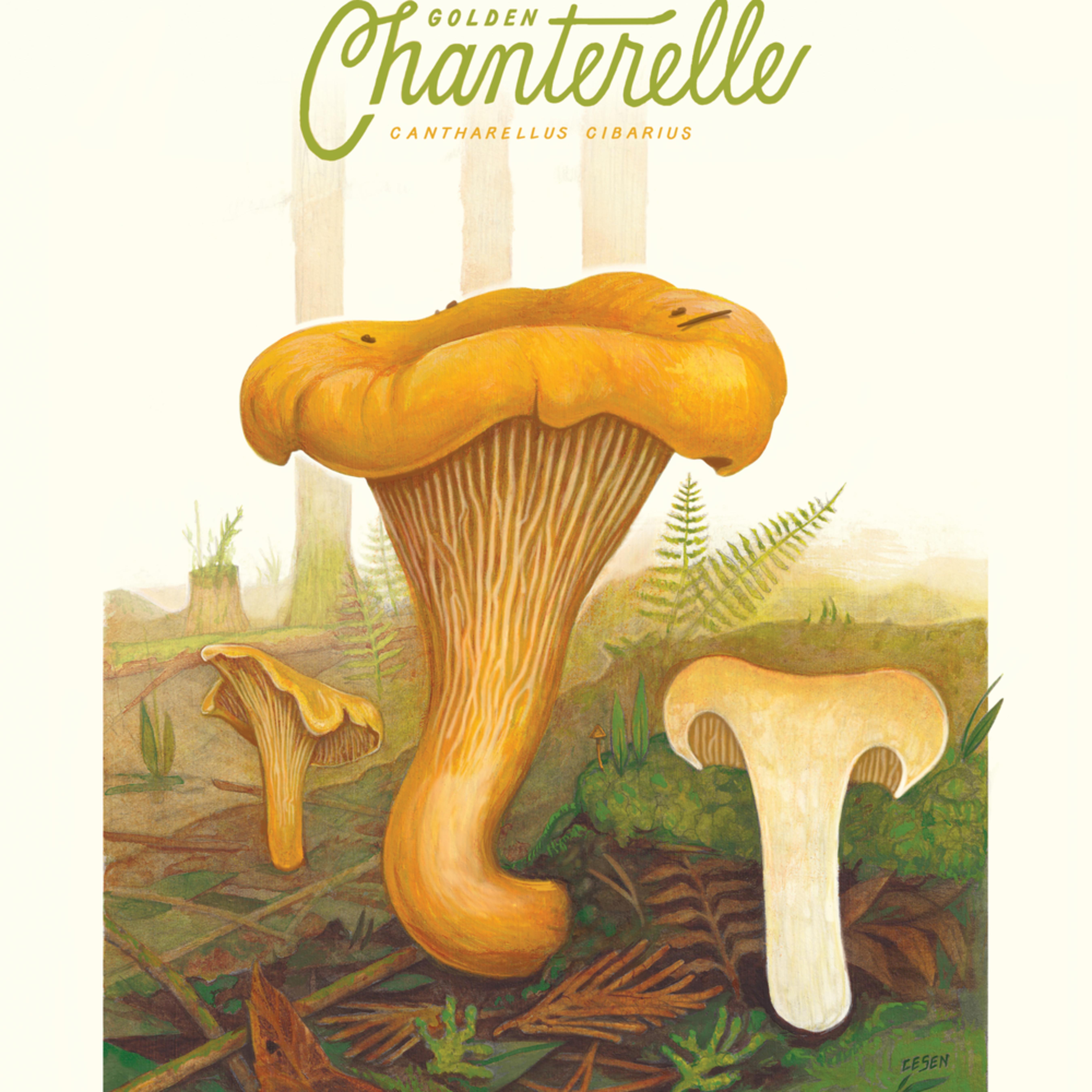 Chanterellemushroom botanicaldrawing 18x24 print qiwpql