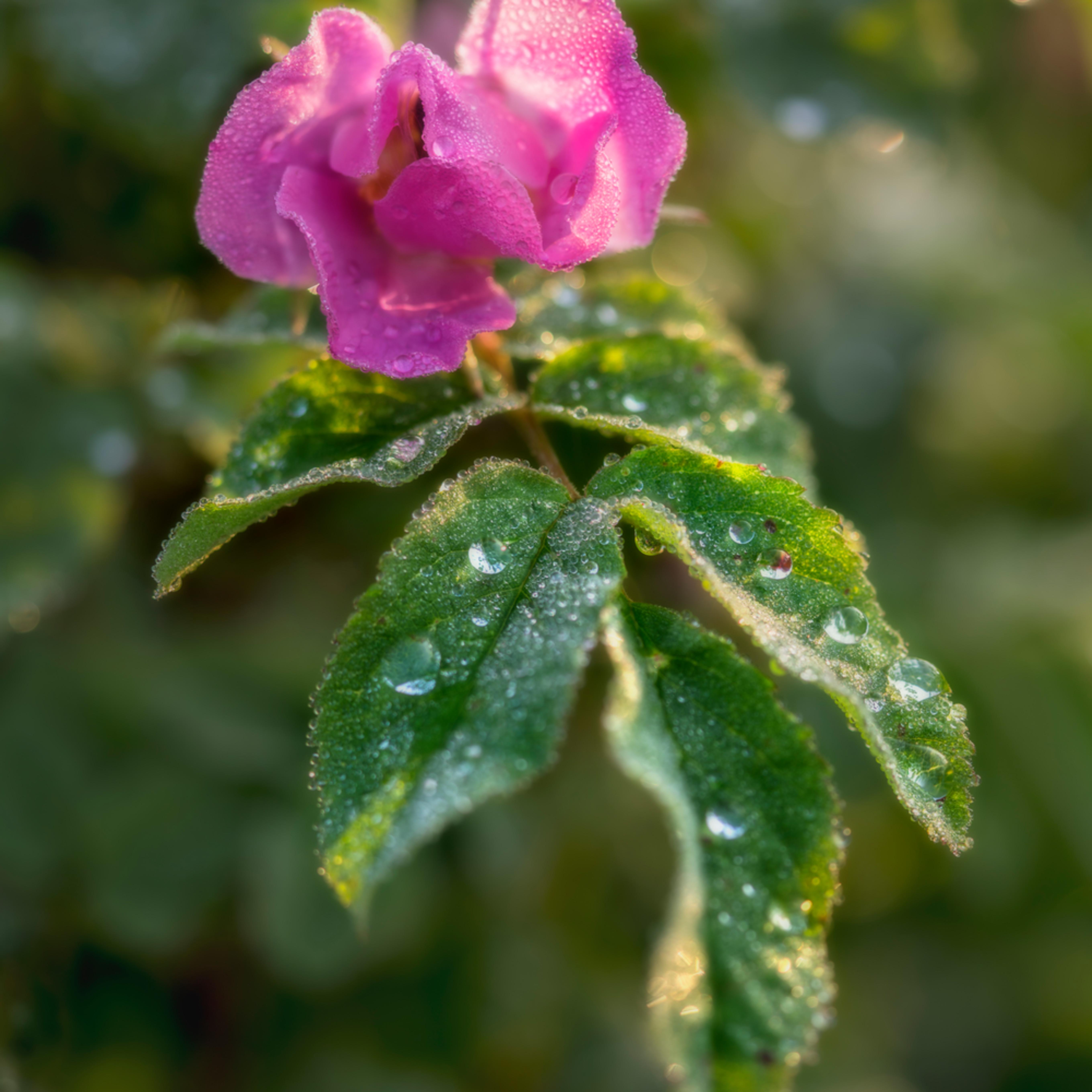 Wild rose in morning dew sdvlhd