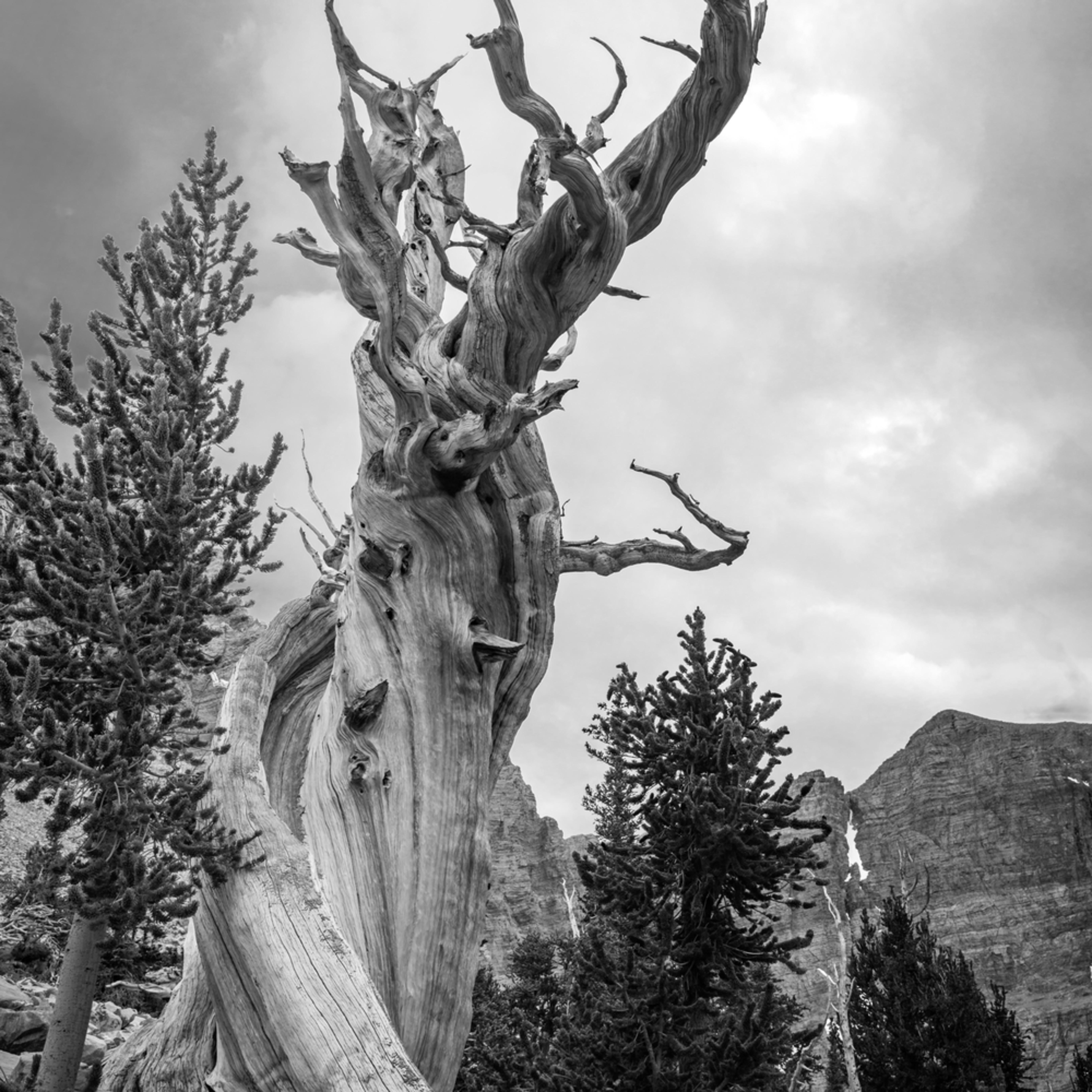 Bristlecone pine e9swjq