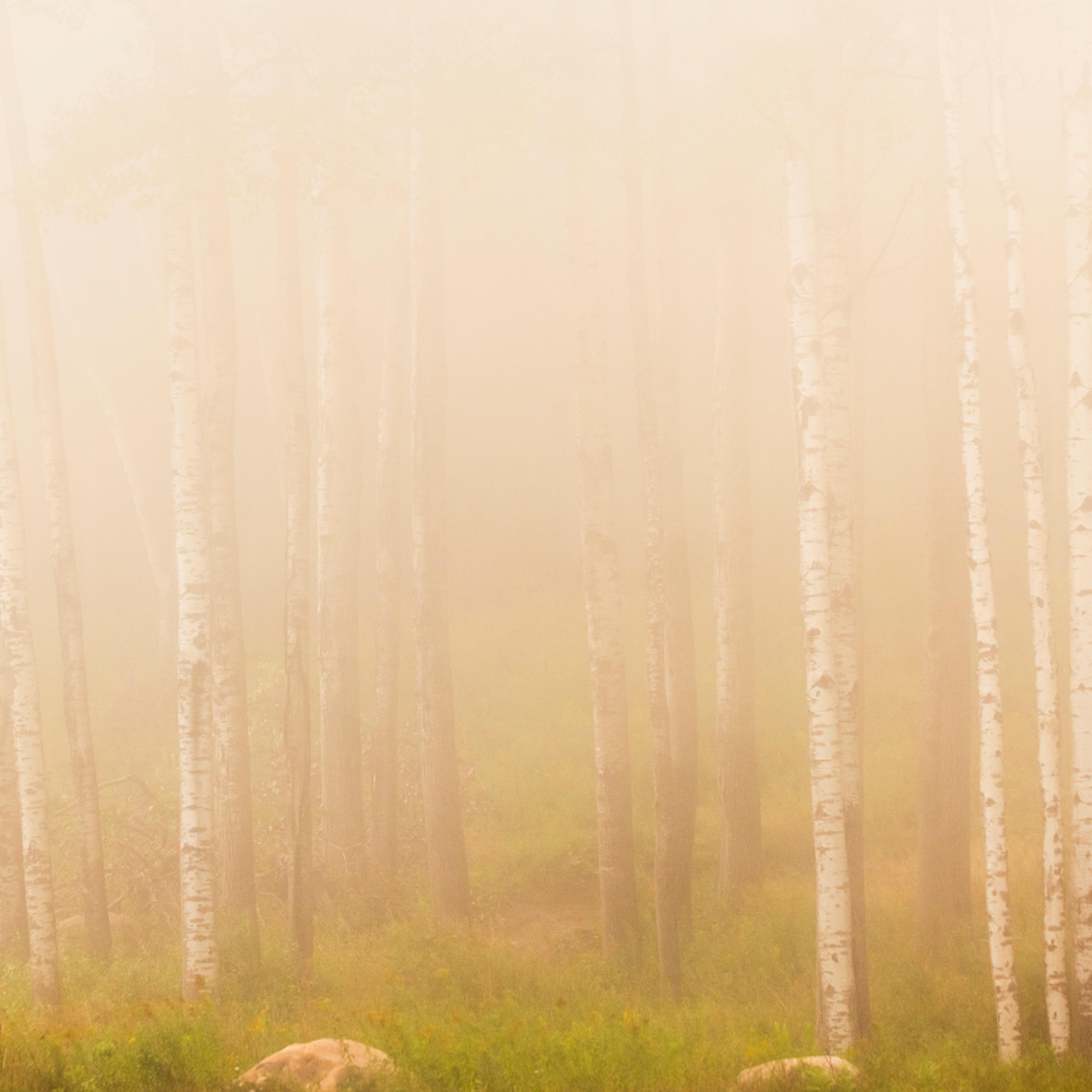 Birch trees 1 cbhbfv
