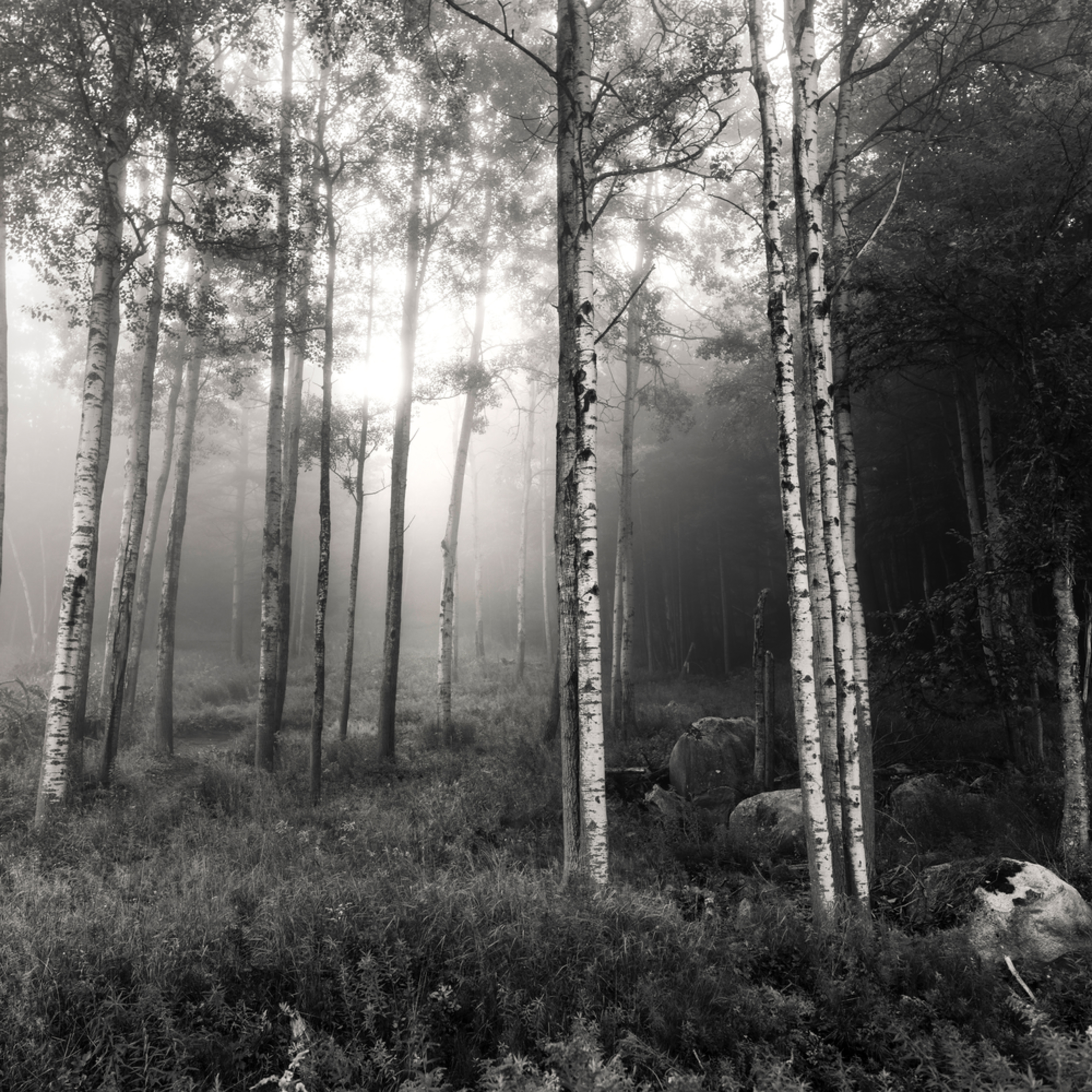 Birch trees bw p4l4ck
