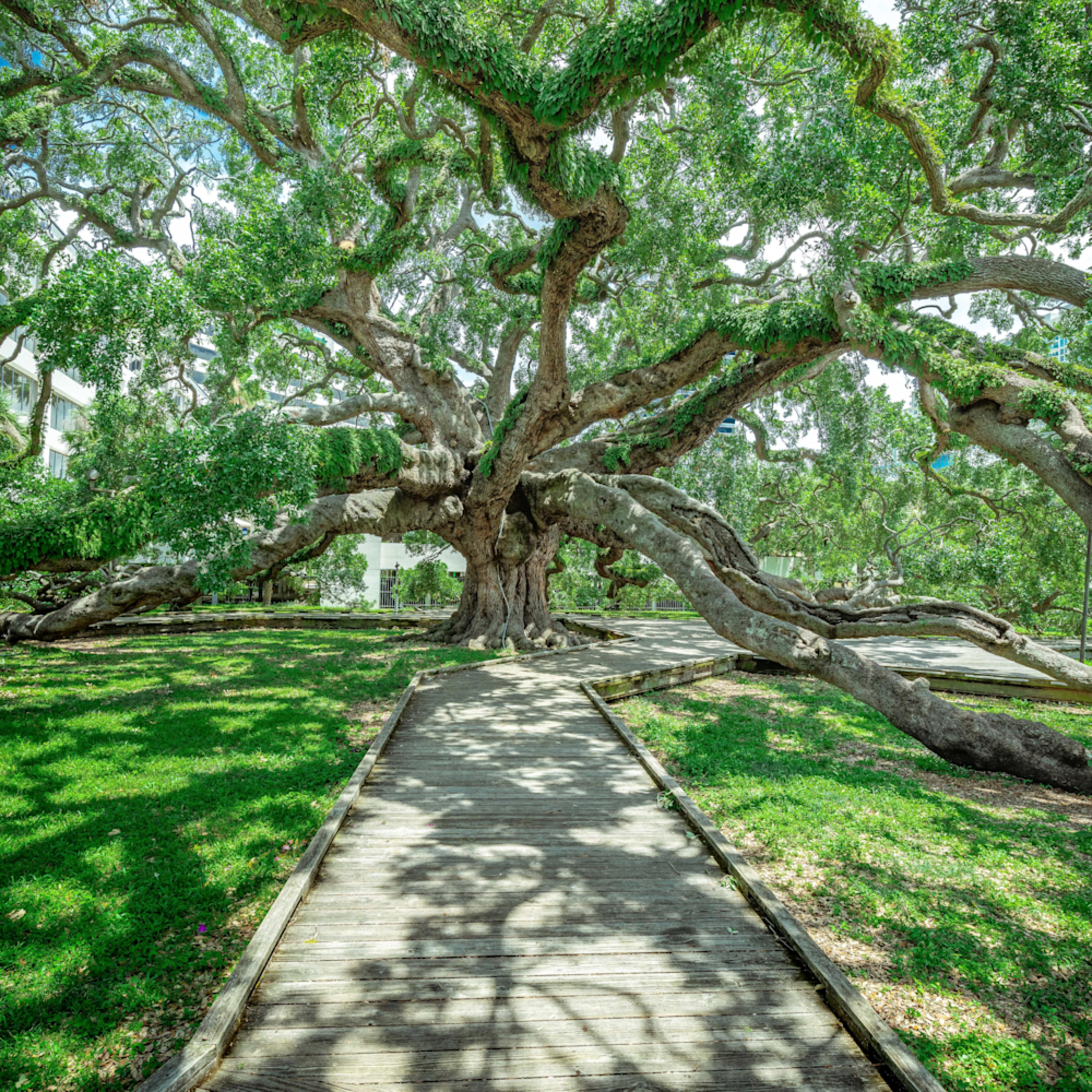 Treaty oak a1 sckr5r