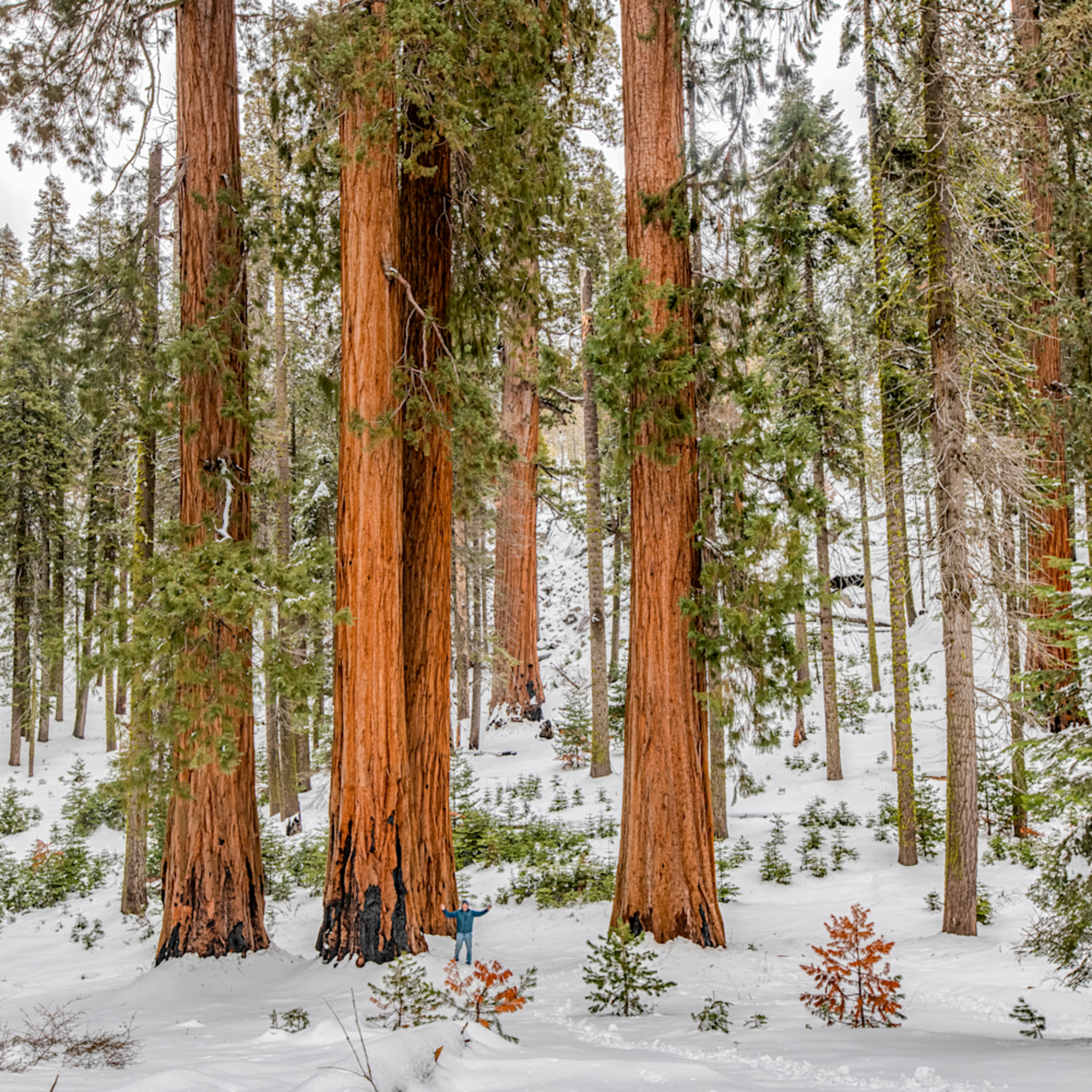 Sequoia tree winter tndbbw