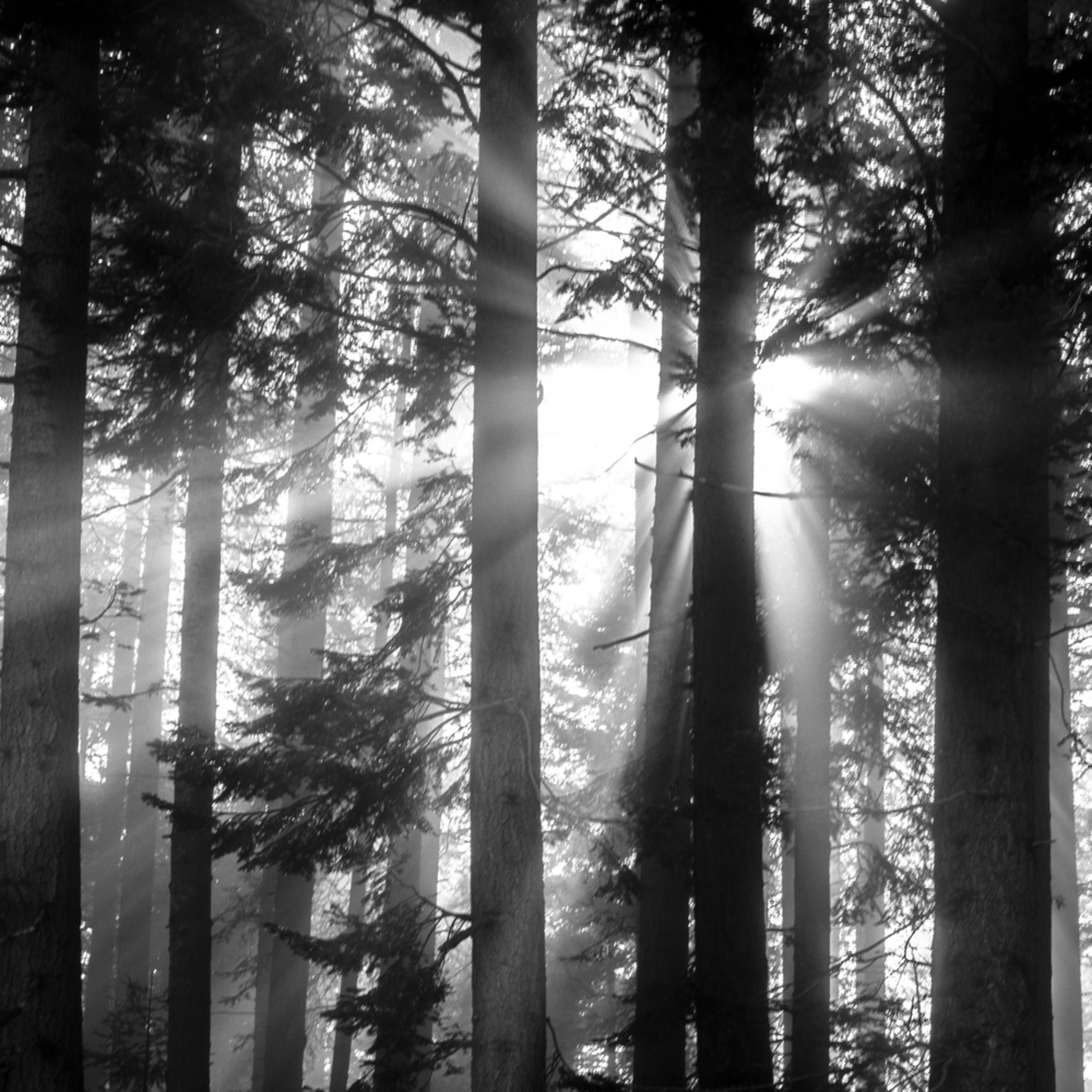 Morning rays giant sequuoia grove scjkvn