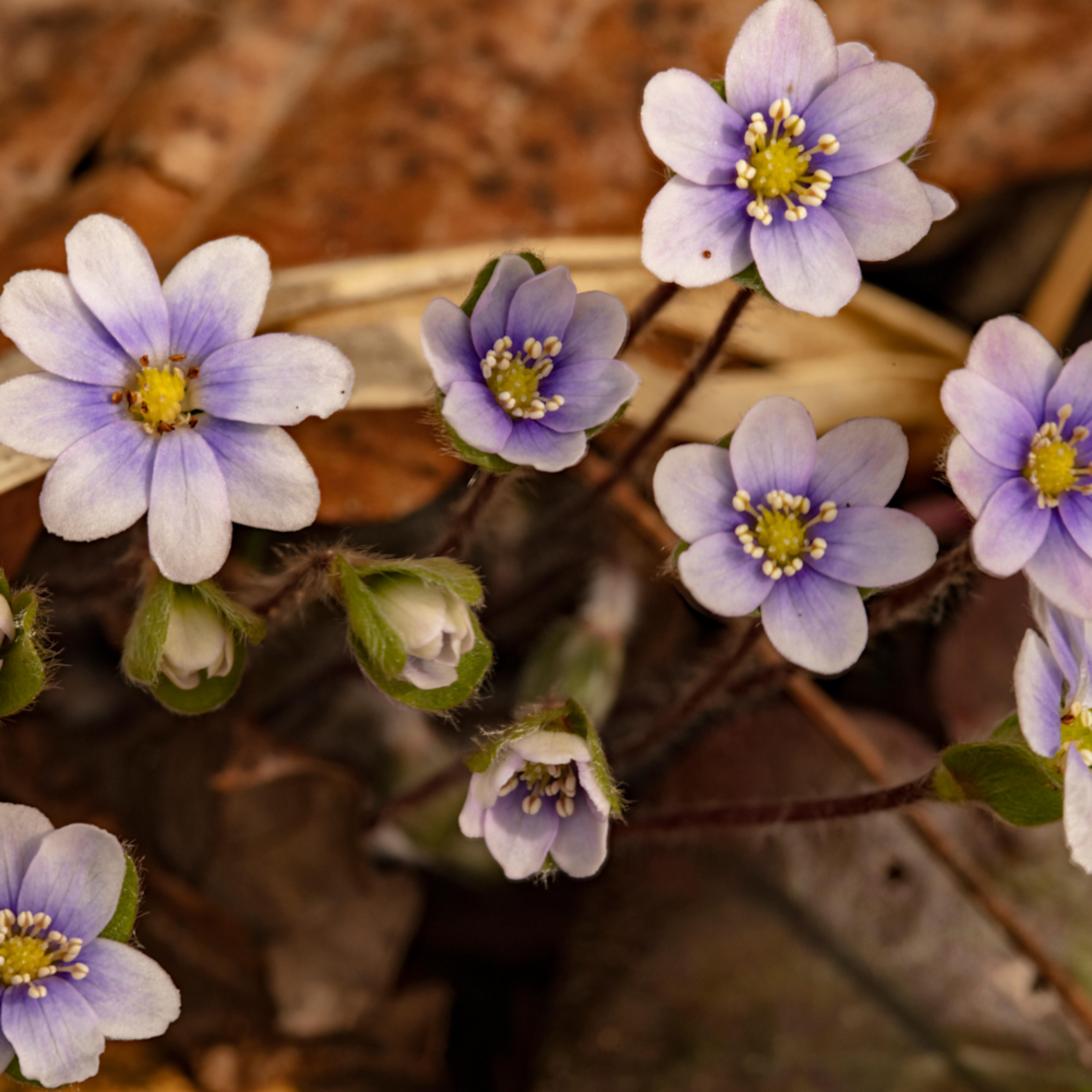 Purple liverwort pennywort 0234 fss jdgm4o