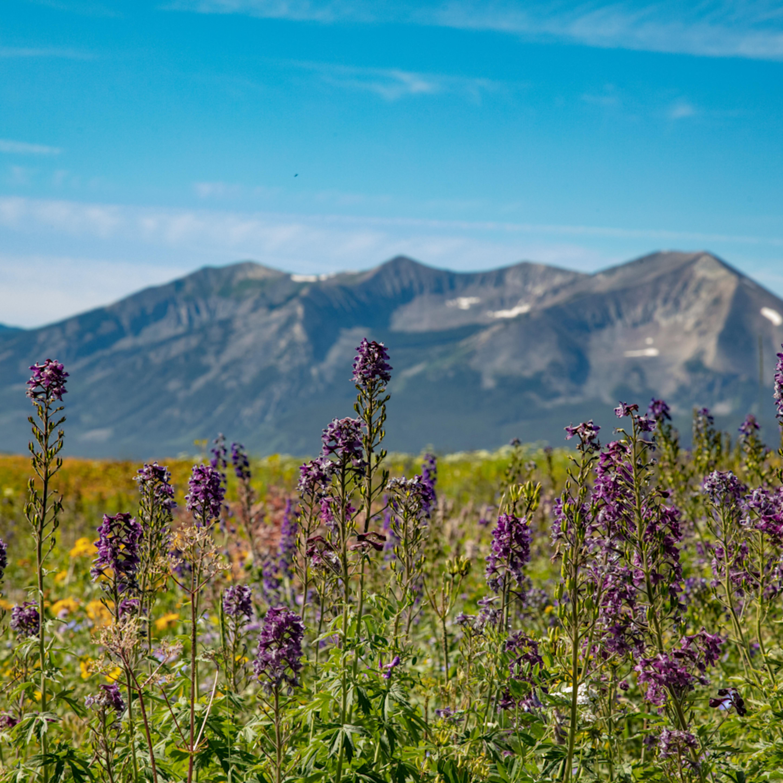 Purple wildflowers dre6737fs jgvjti