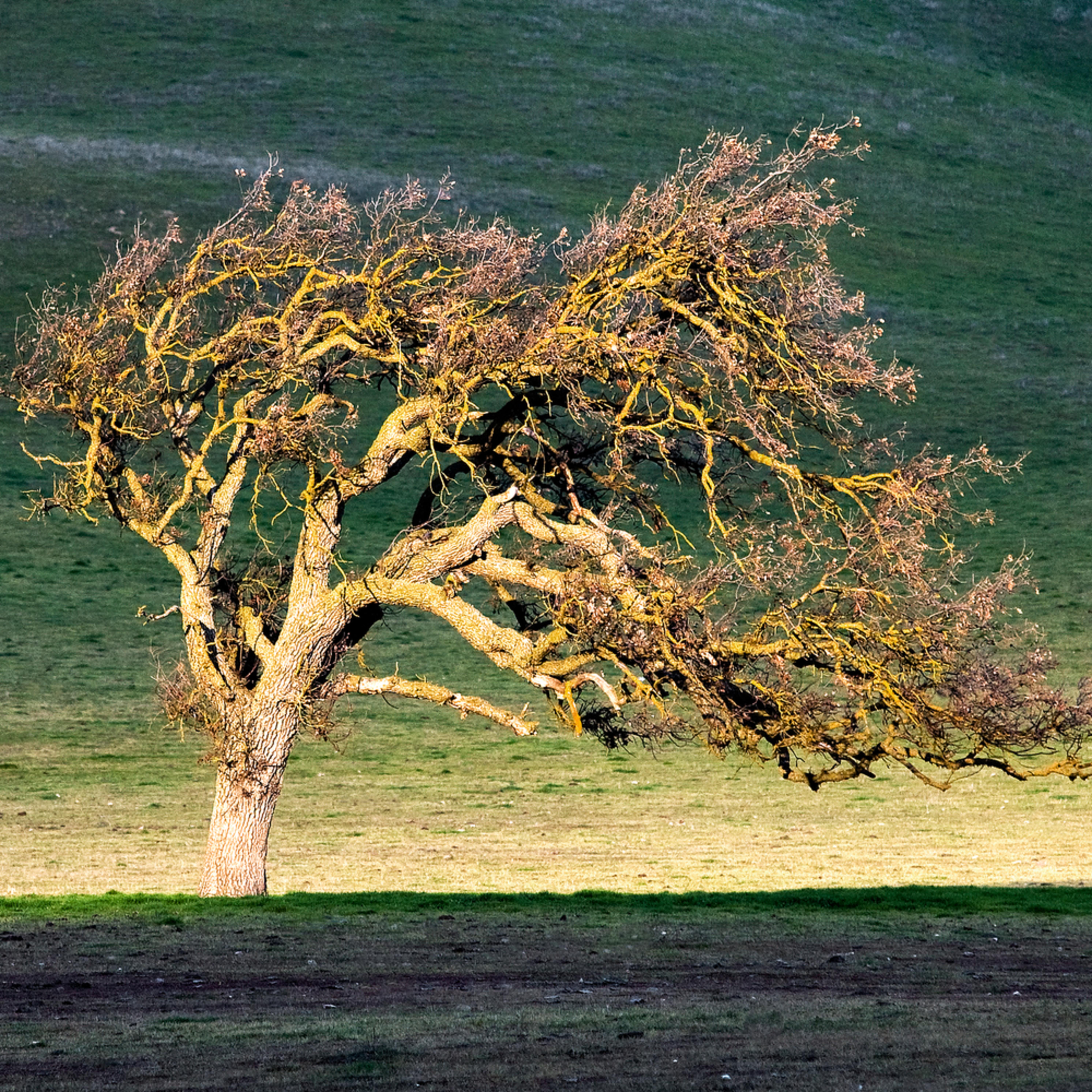Windswept oak aolmzl