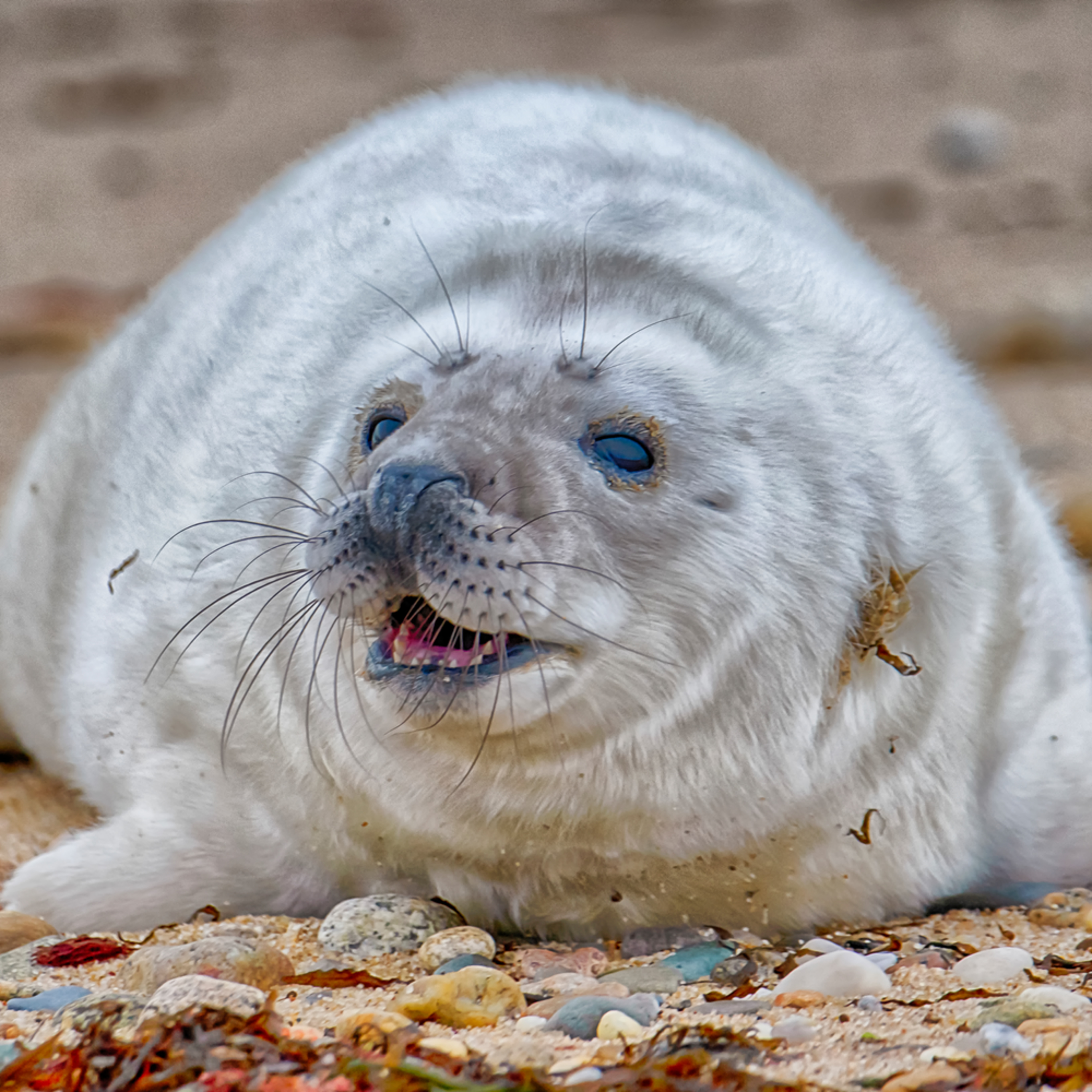 Chappy seal pup legecp