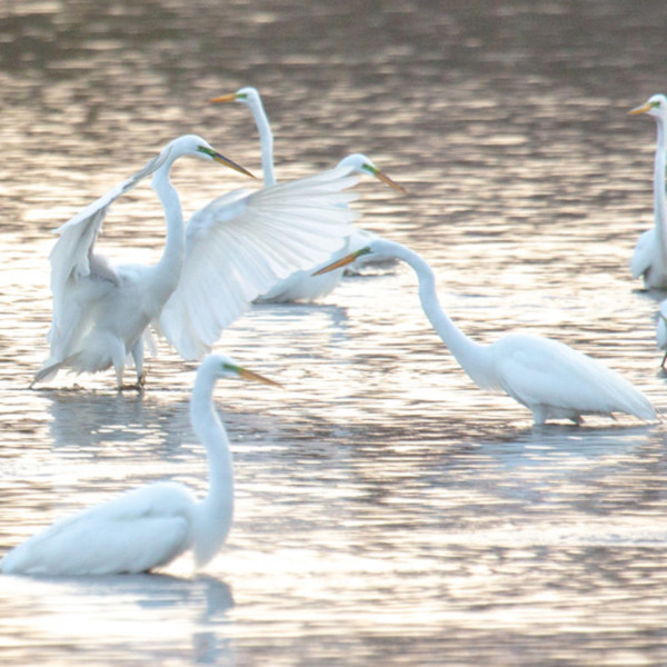 Egret dance party pano ltym5h