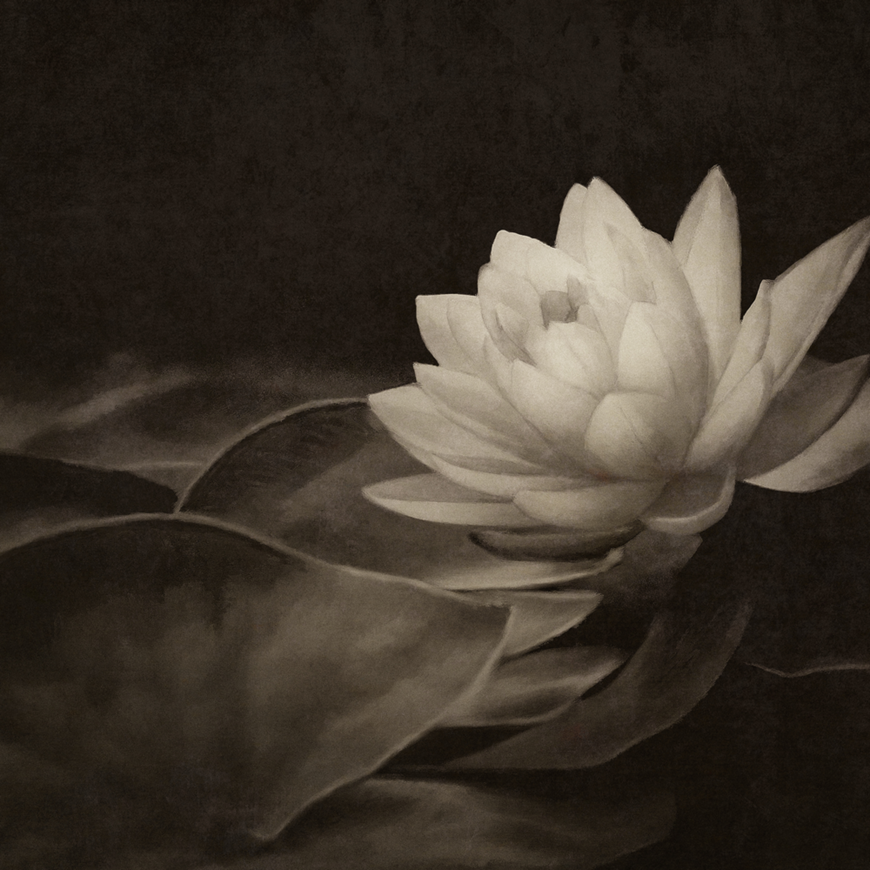 Single water lily lt0u3j