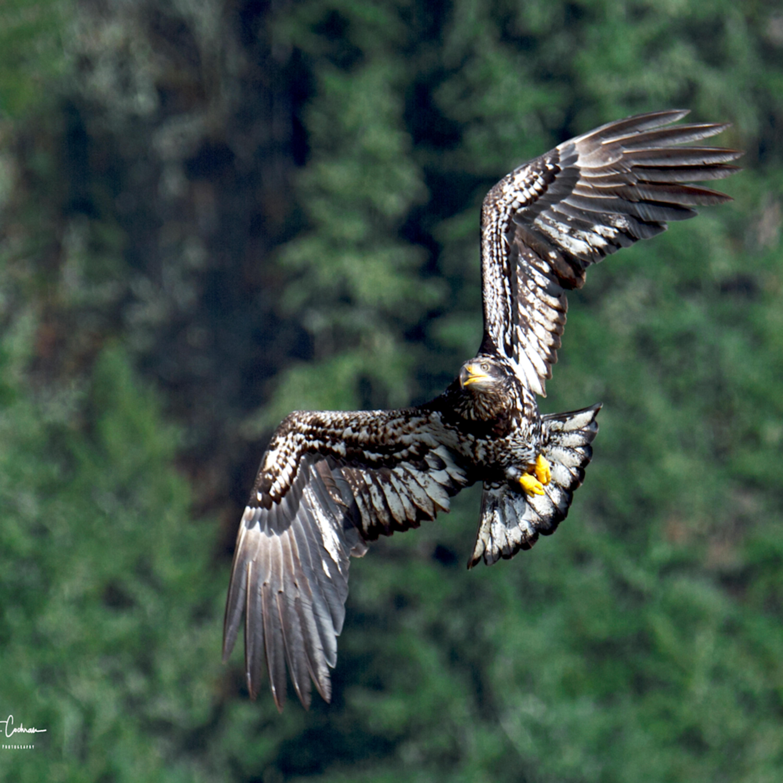 Juvenile in flight tkjoxr