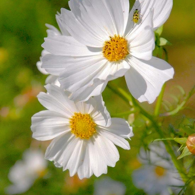 Daisy morning kgubkv