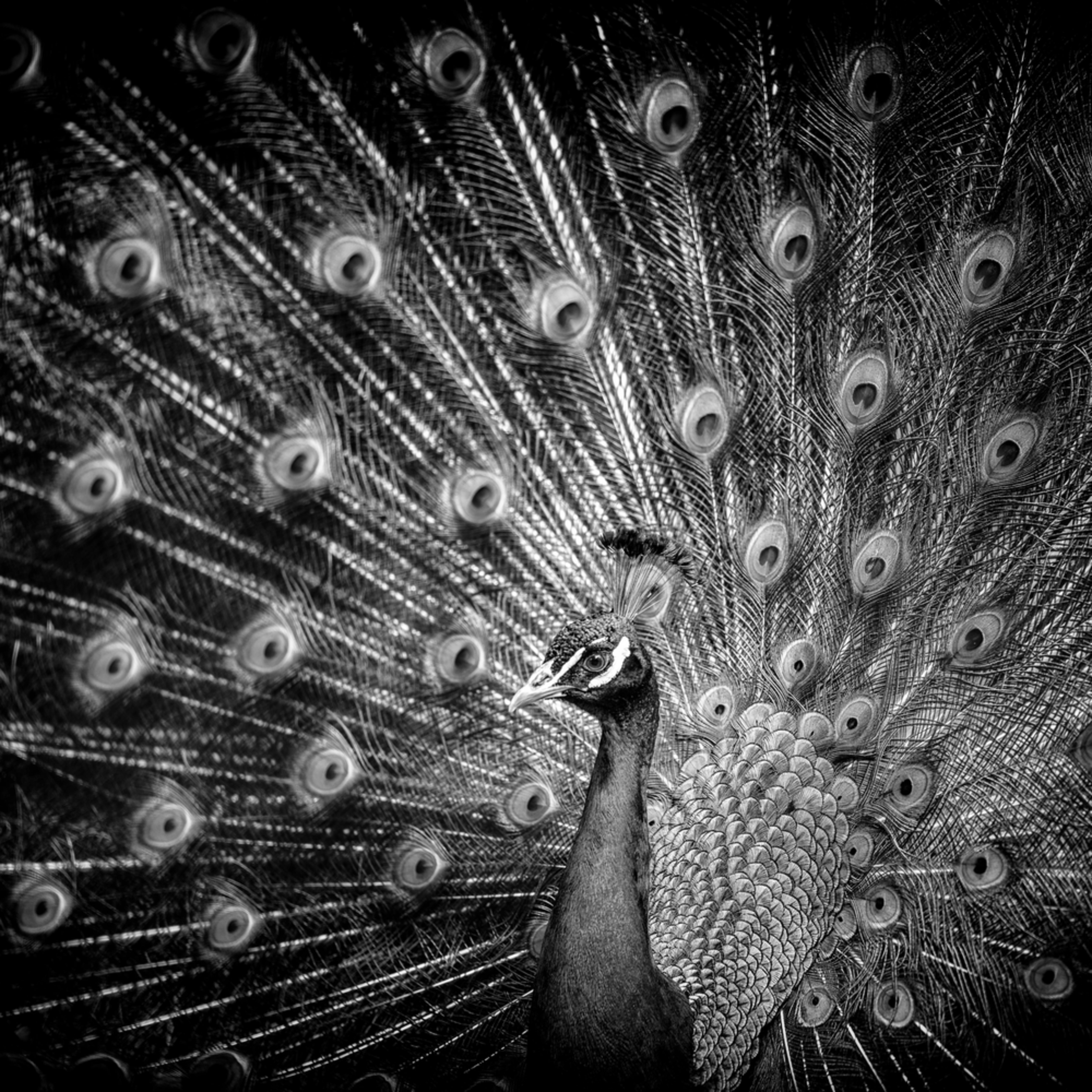 Peacock eyes b w hvjwqe