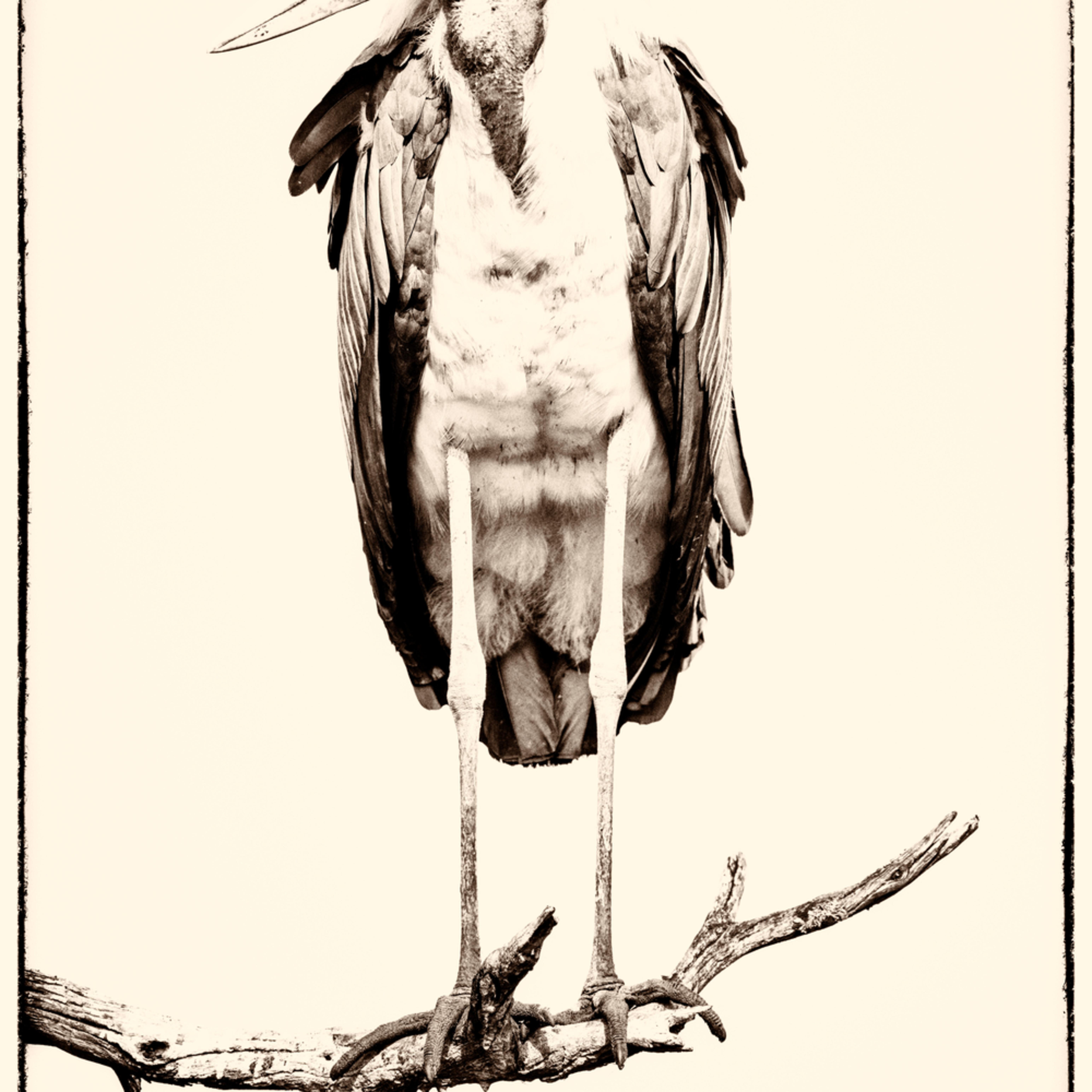 Marabou stork sepia dwasuk