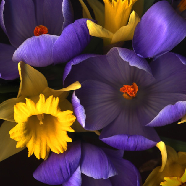Daffodile crocus koral martin mxp8b2