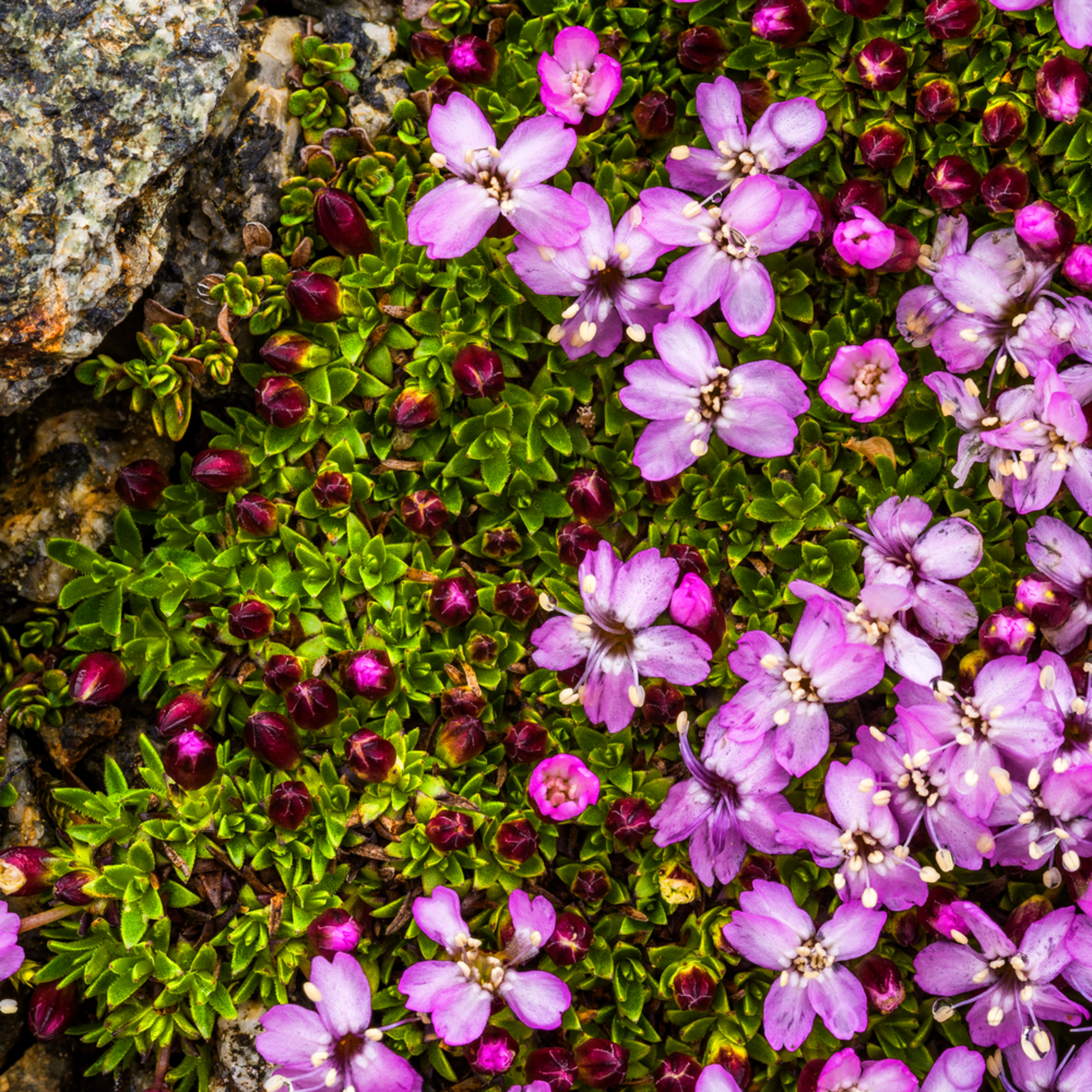Arctic thyme in bloom i4aaso