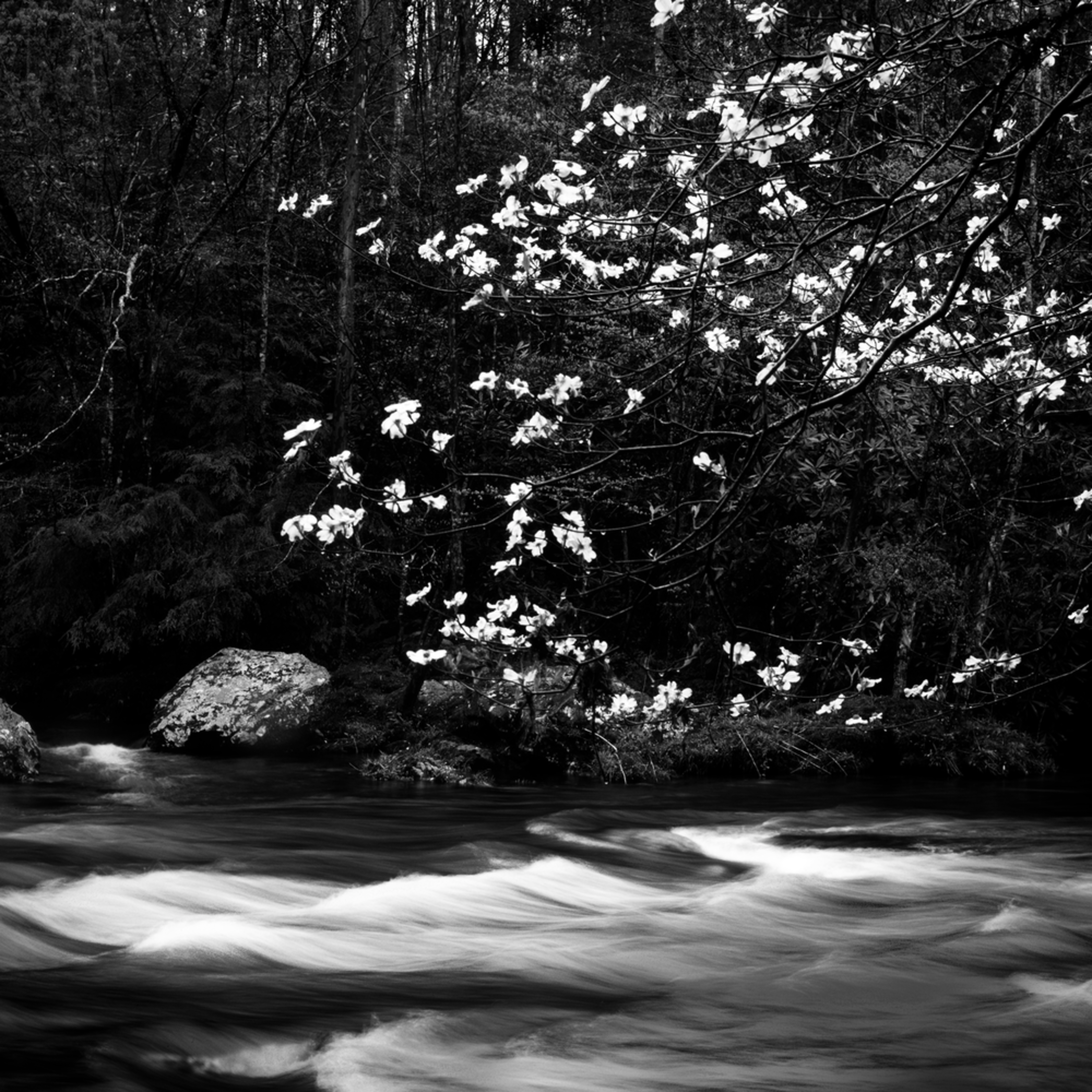 Flowering dogwood flowing water rcl2zd