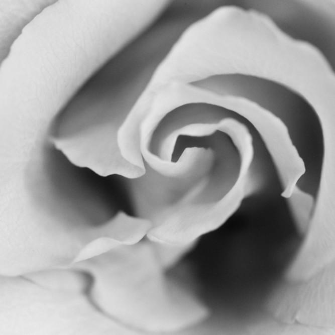 Flowers fine art black white susan michal059 b7wqdd