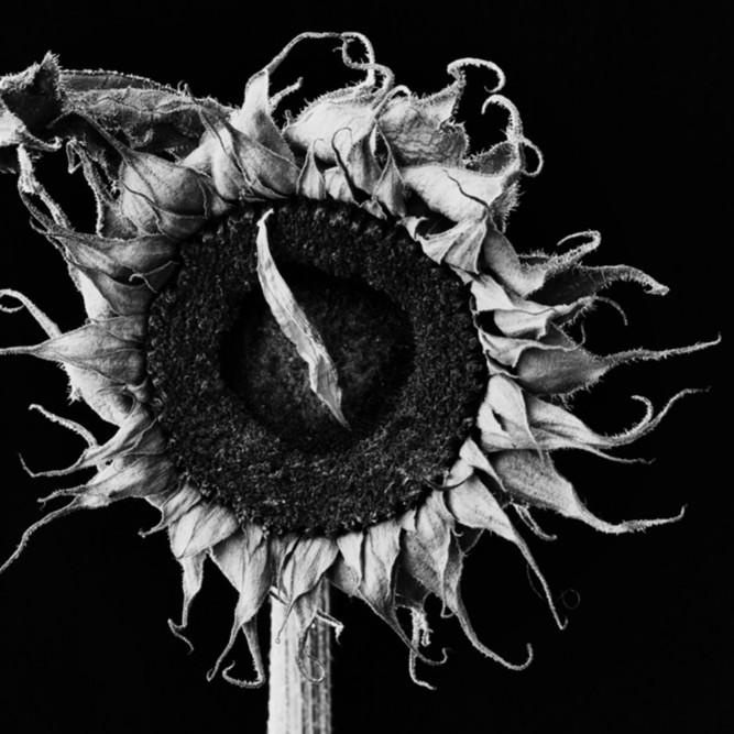 Flowers fine art black white susan michal064 lupnvg