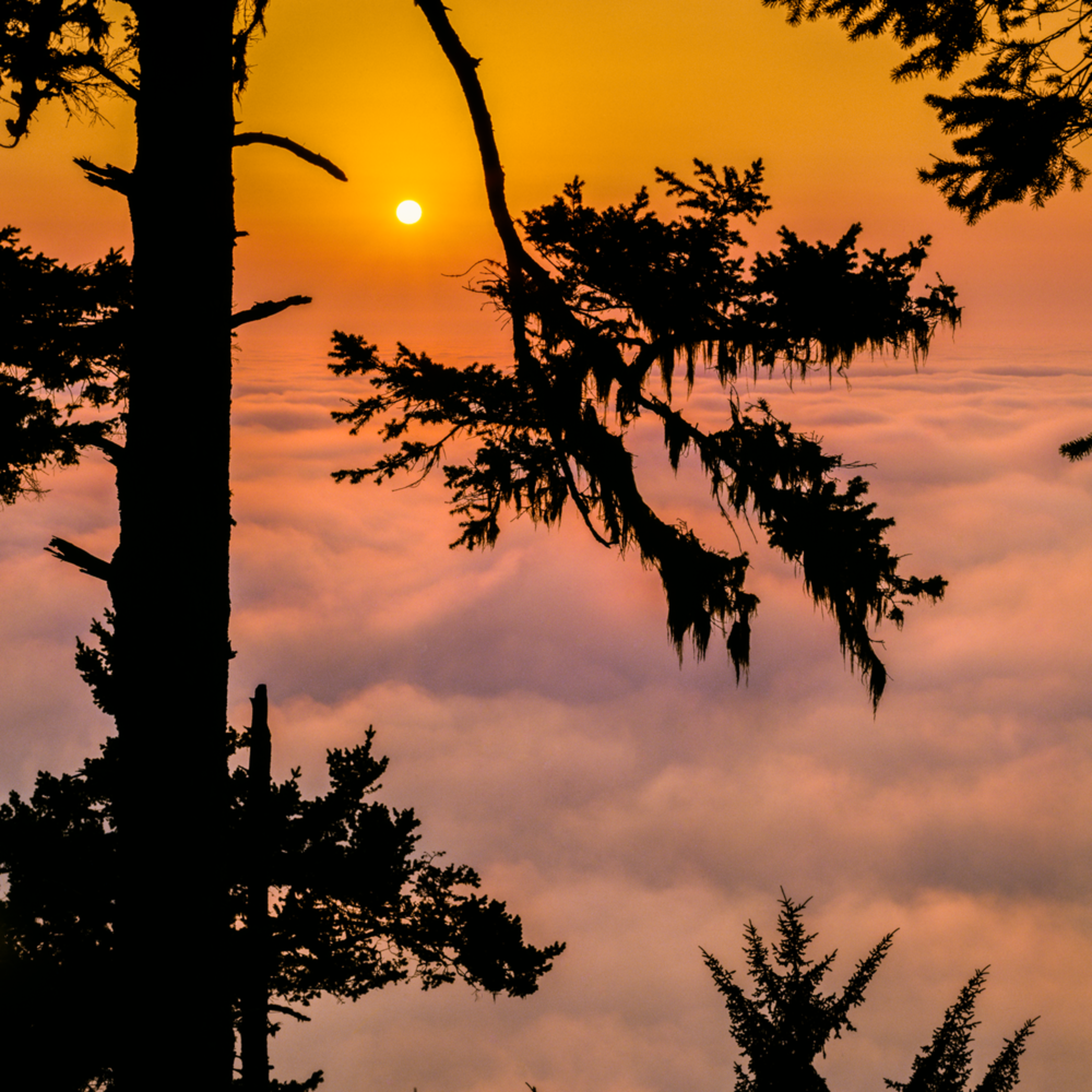 Redwood silhouette sunset above the clouds final umsoq9