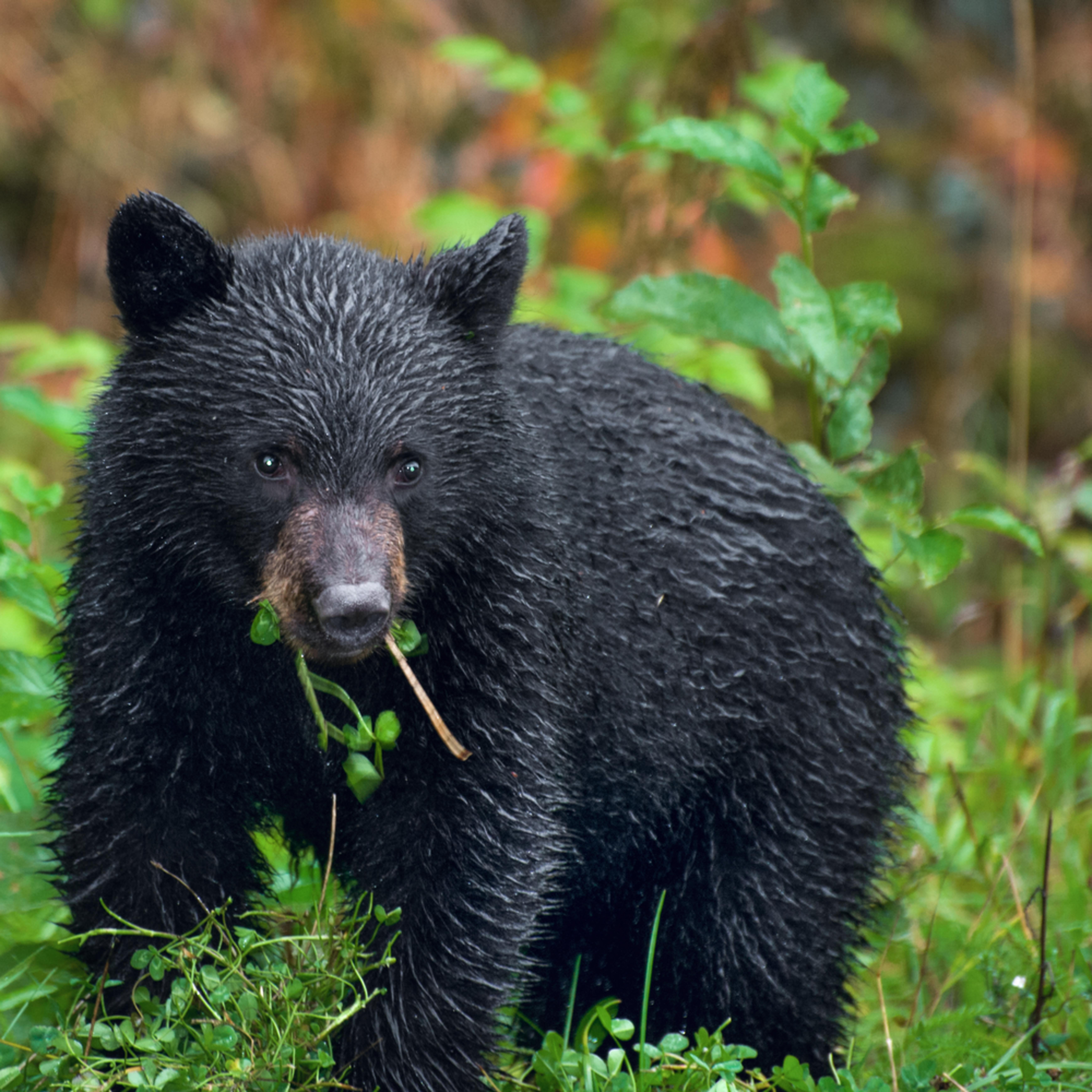 Dsc 5025 black bear cub 29x23 w39yow