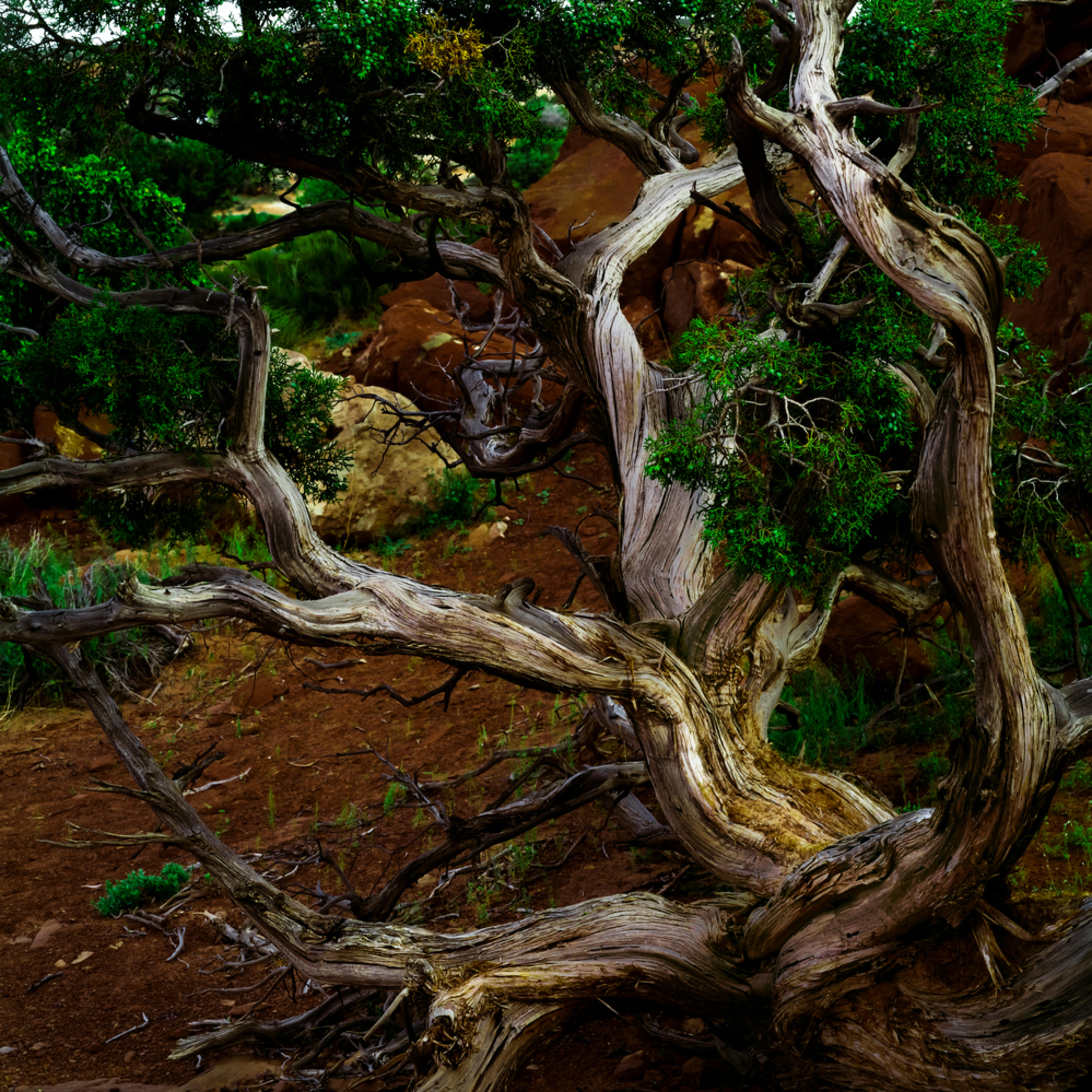 Utah juniper a9lobw