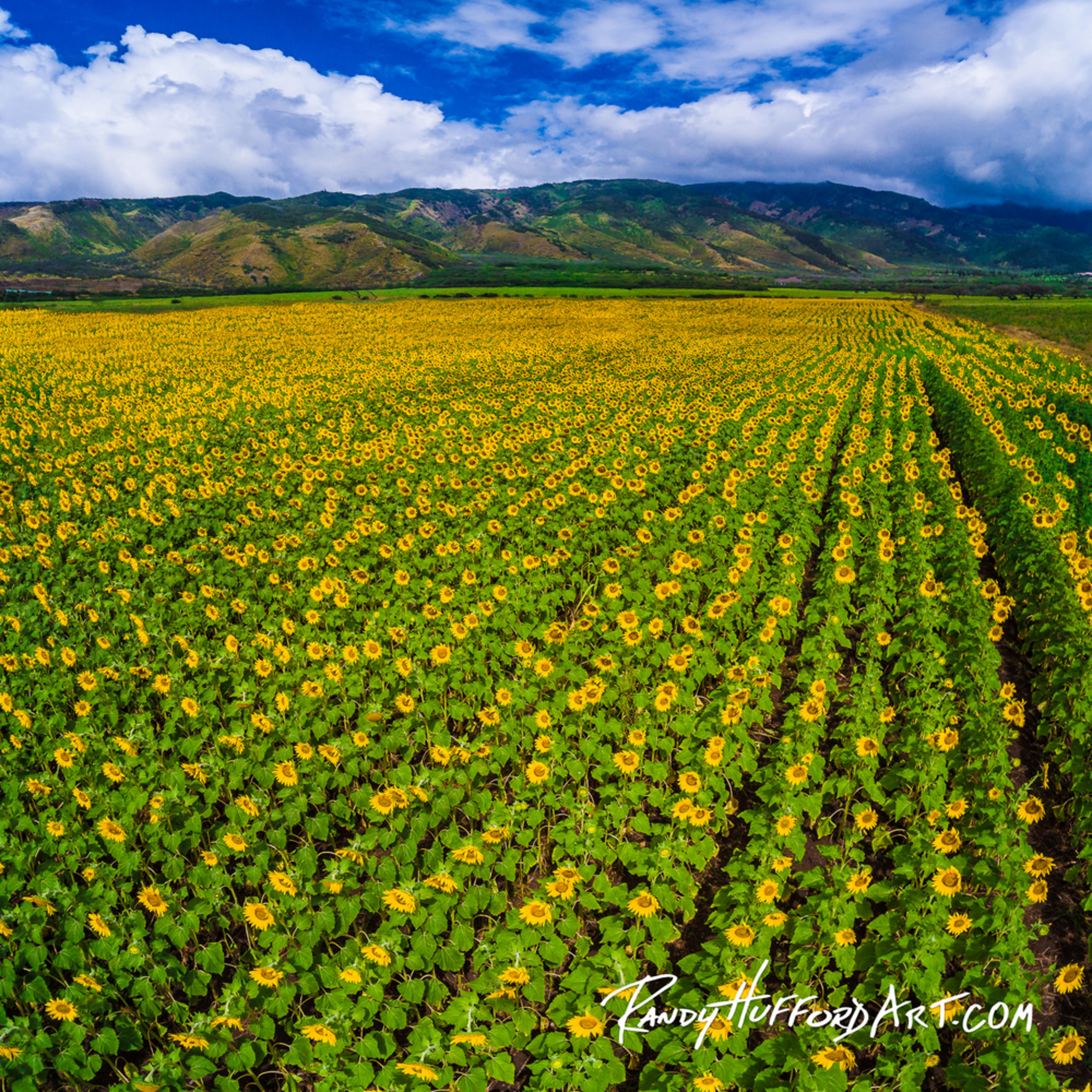 Maui sunflowerfields2dji 0965 pano s8jk8u