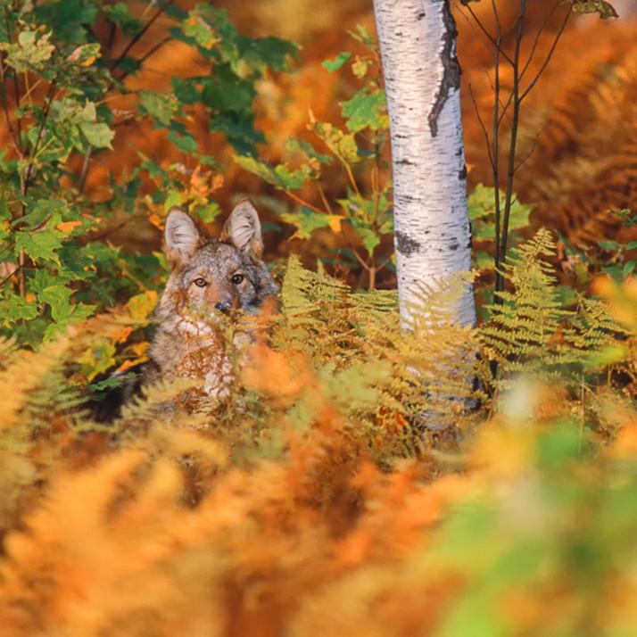 Coyote in ferns imca5d