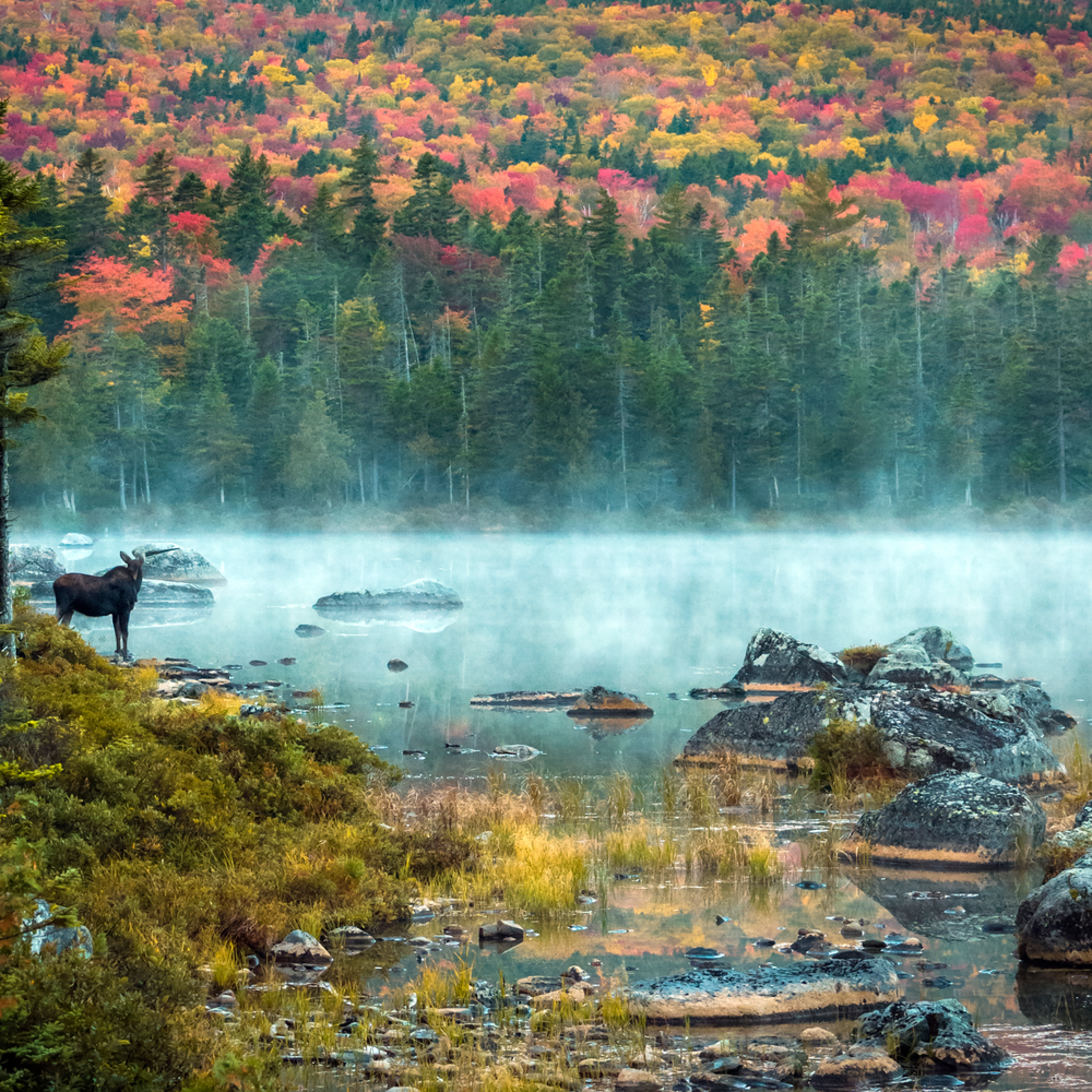 Morning moose b8o7zg