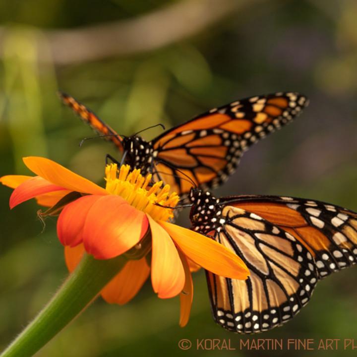 Butterflyonzinnia 6237 sbg18 lf koralmartin yqvnyx