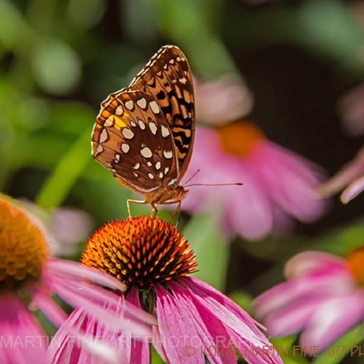 Butterfly coneflower crystalbridges 4274 c koral k71zot