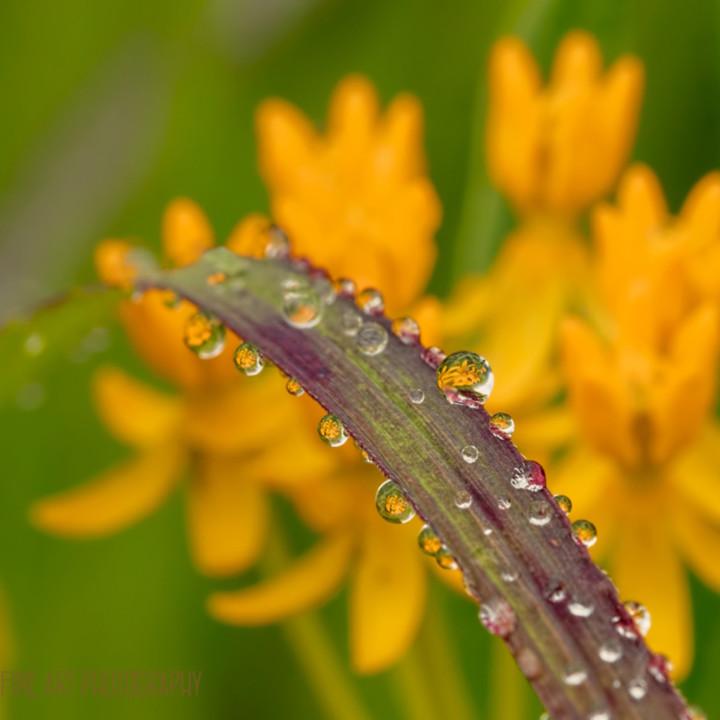 Drops milkweed 380916 24 lf koral martin blloww