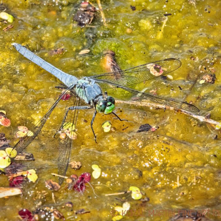 Dragonfly on moss 1457 mfaclj