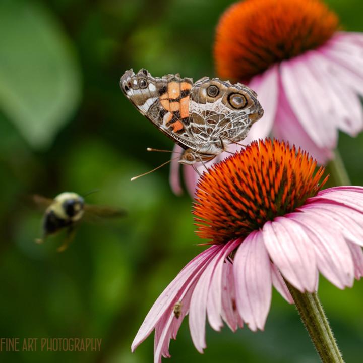 Butterflybee0w5a9528 dxo koralmartin wzzclp