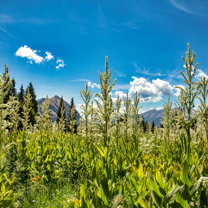 Snodgrass trail tall wildflowers mountains 6956 koral martin eibkuo