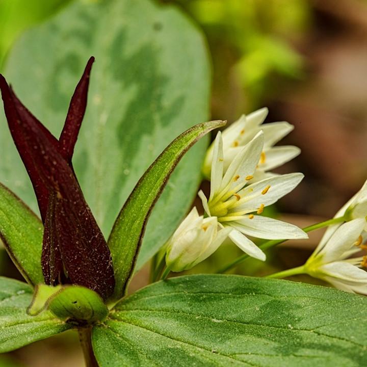 Trillium white flowers5787 v2 koral martin mazcgk