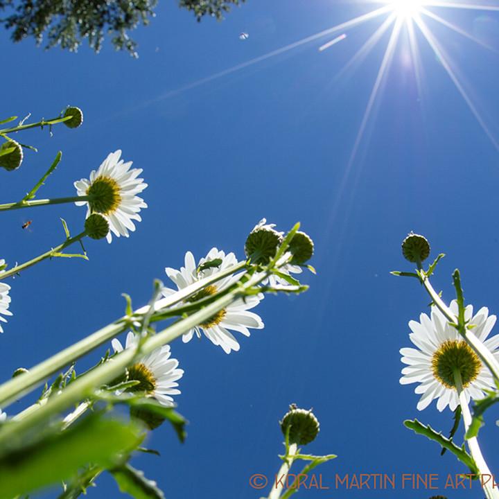 White daisy 0107c t koralmartin p1ns9o