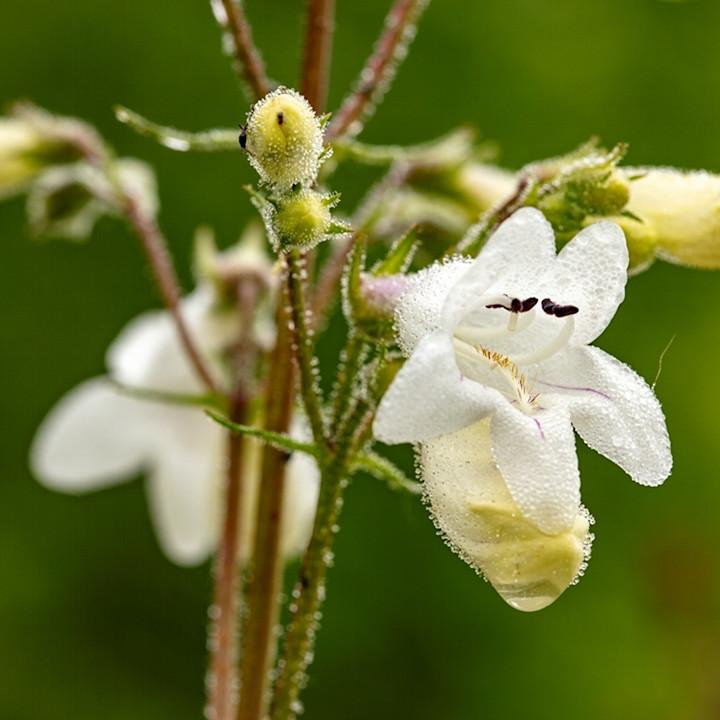 White wiildflower waterdrops 5698 koral martin pfbsn5