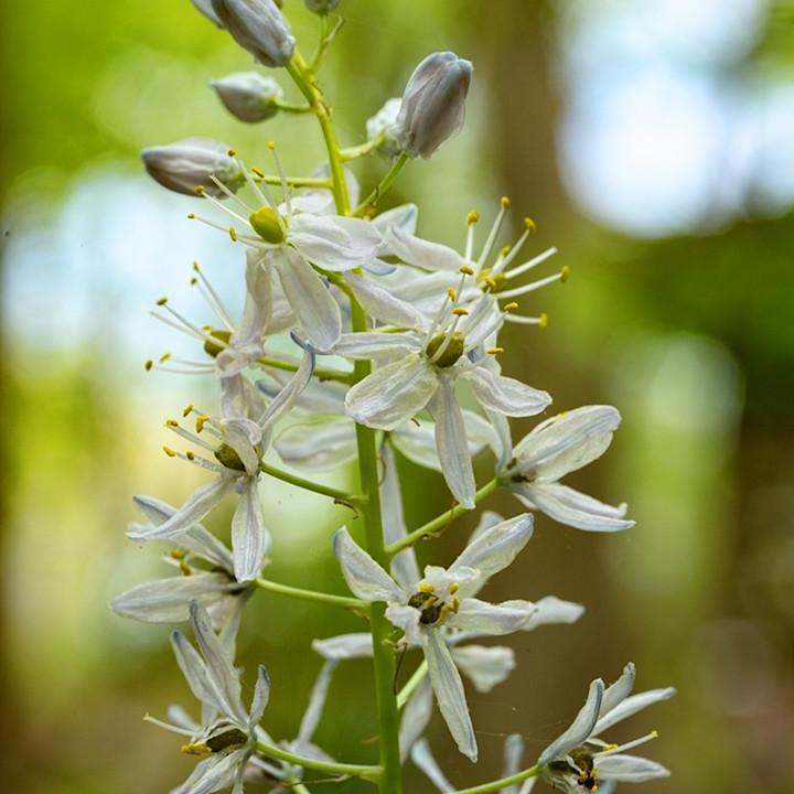 White stem flowers5635 koral martin nlmj5a