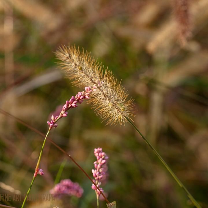 Grasses 0763 koral martin ji1i1z