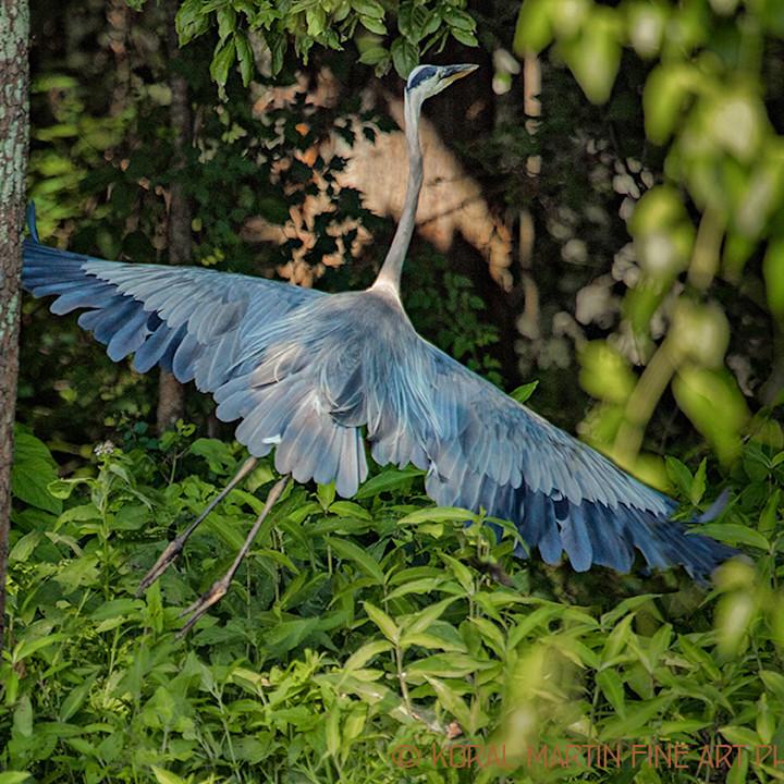 Heronflyinginwoods0920 lf koralmartin b24a3w