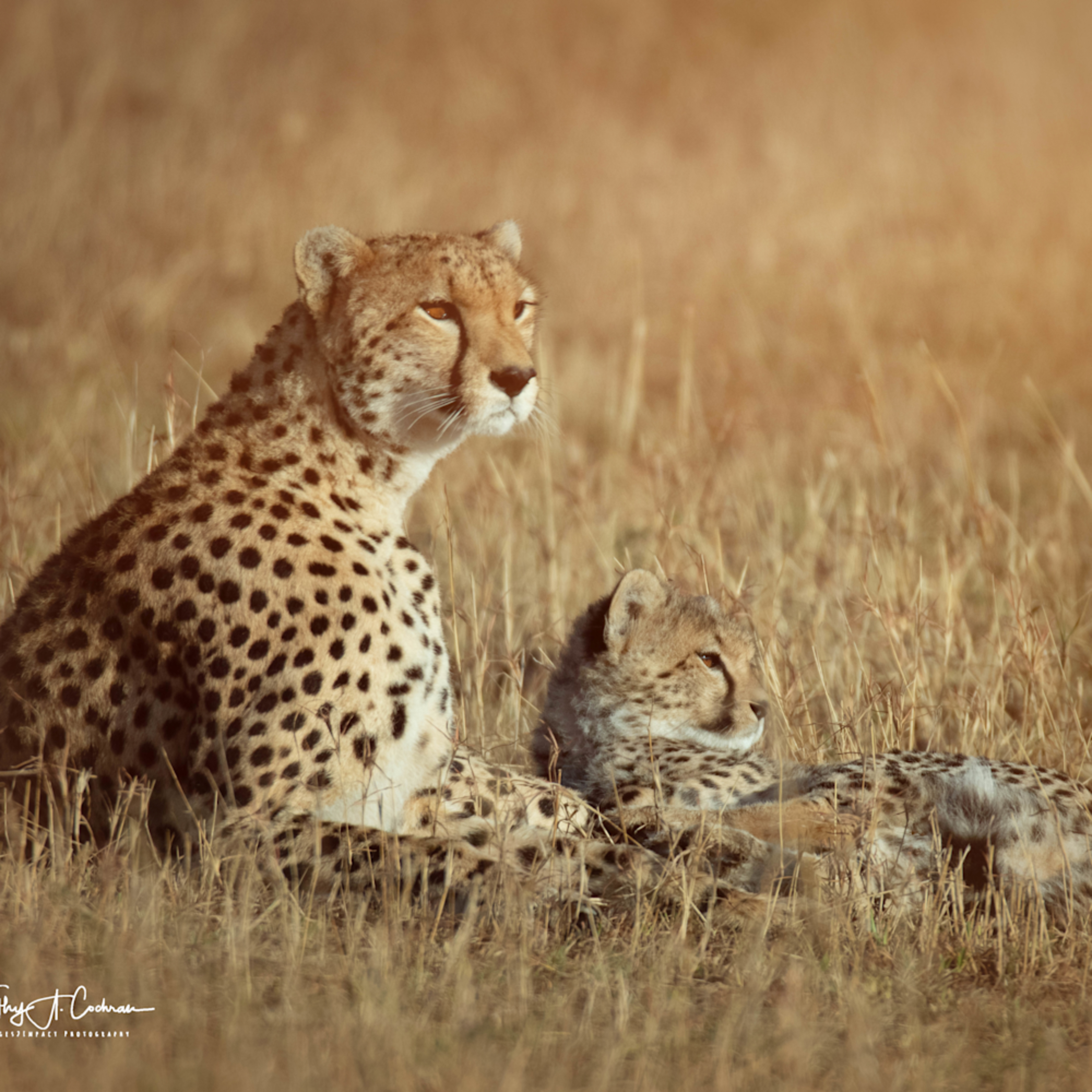 Kenya cheetah 3817 kvucwm