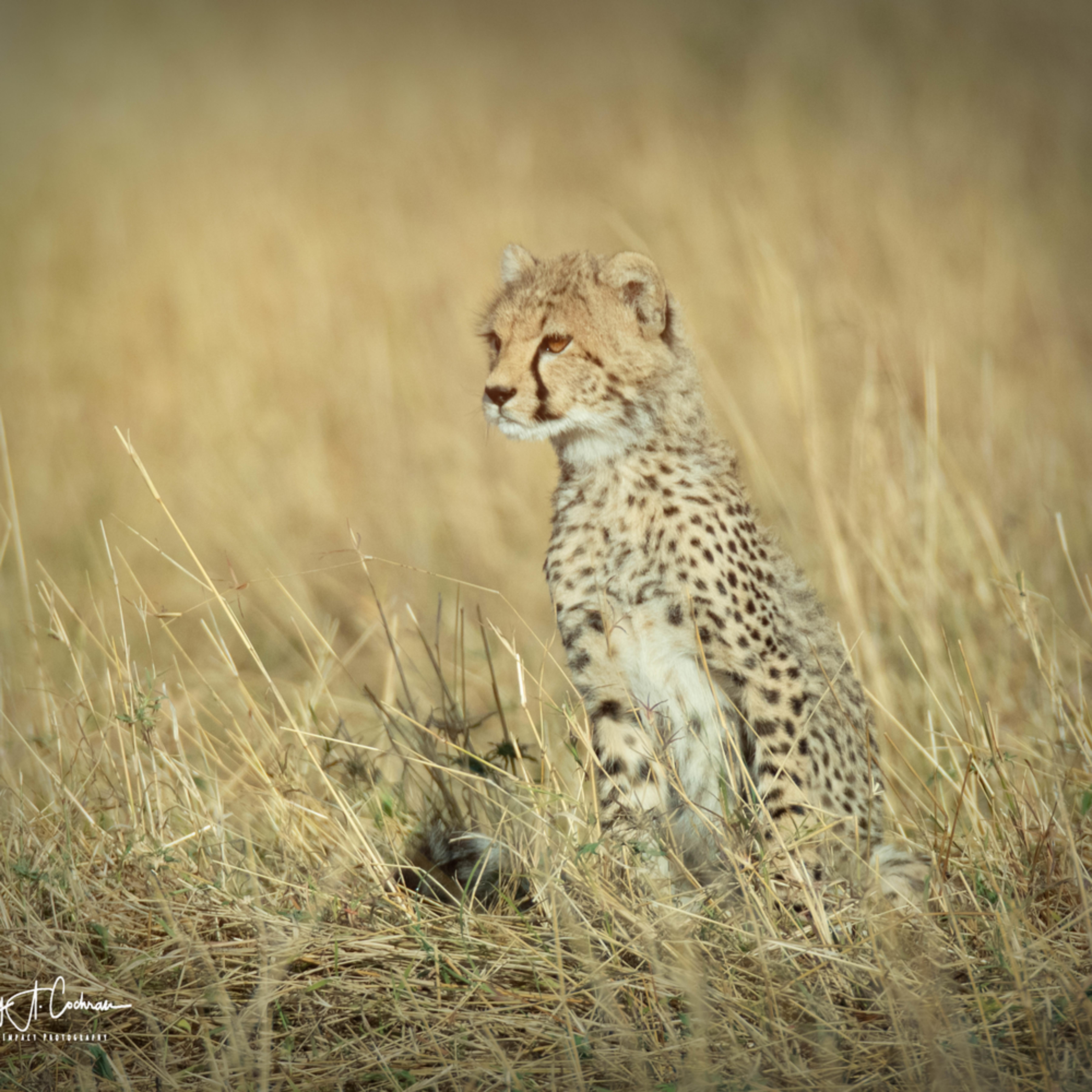 Kenya cheetah 3829 gjhl7h
