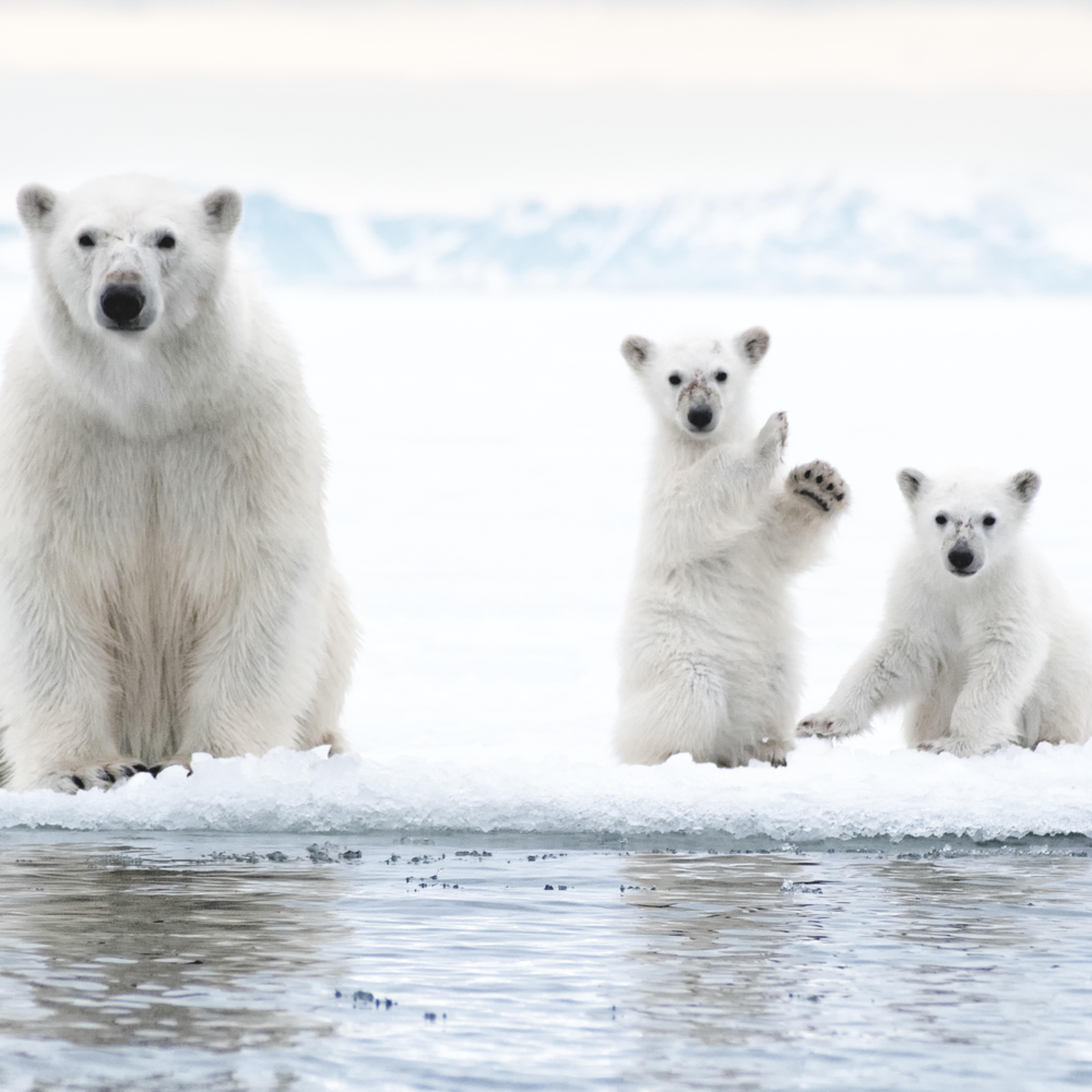 Ice bears 100 hf6ovp