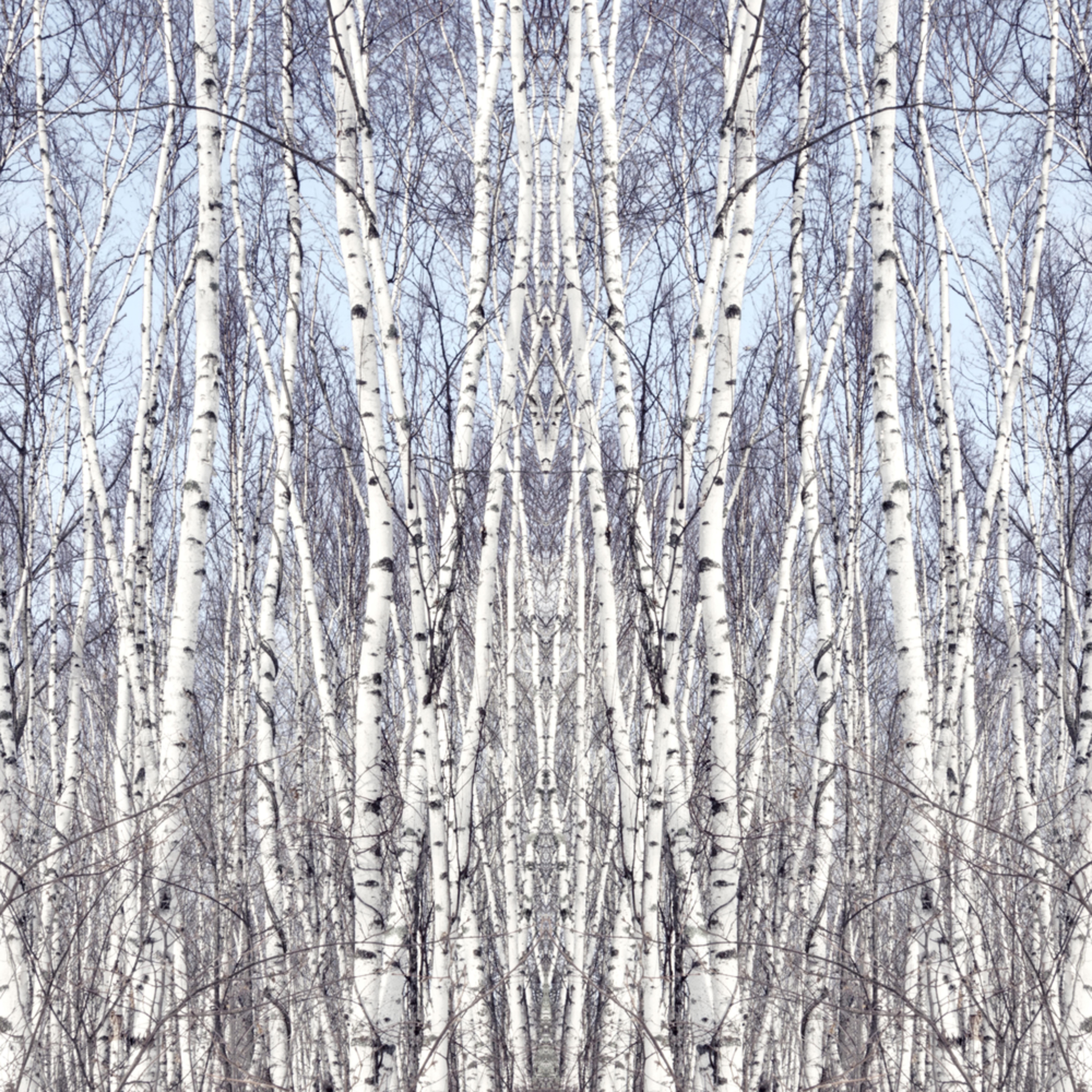 Birch  3 asf  johzlv