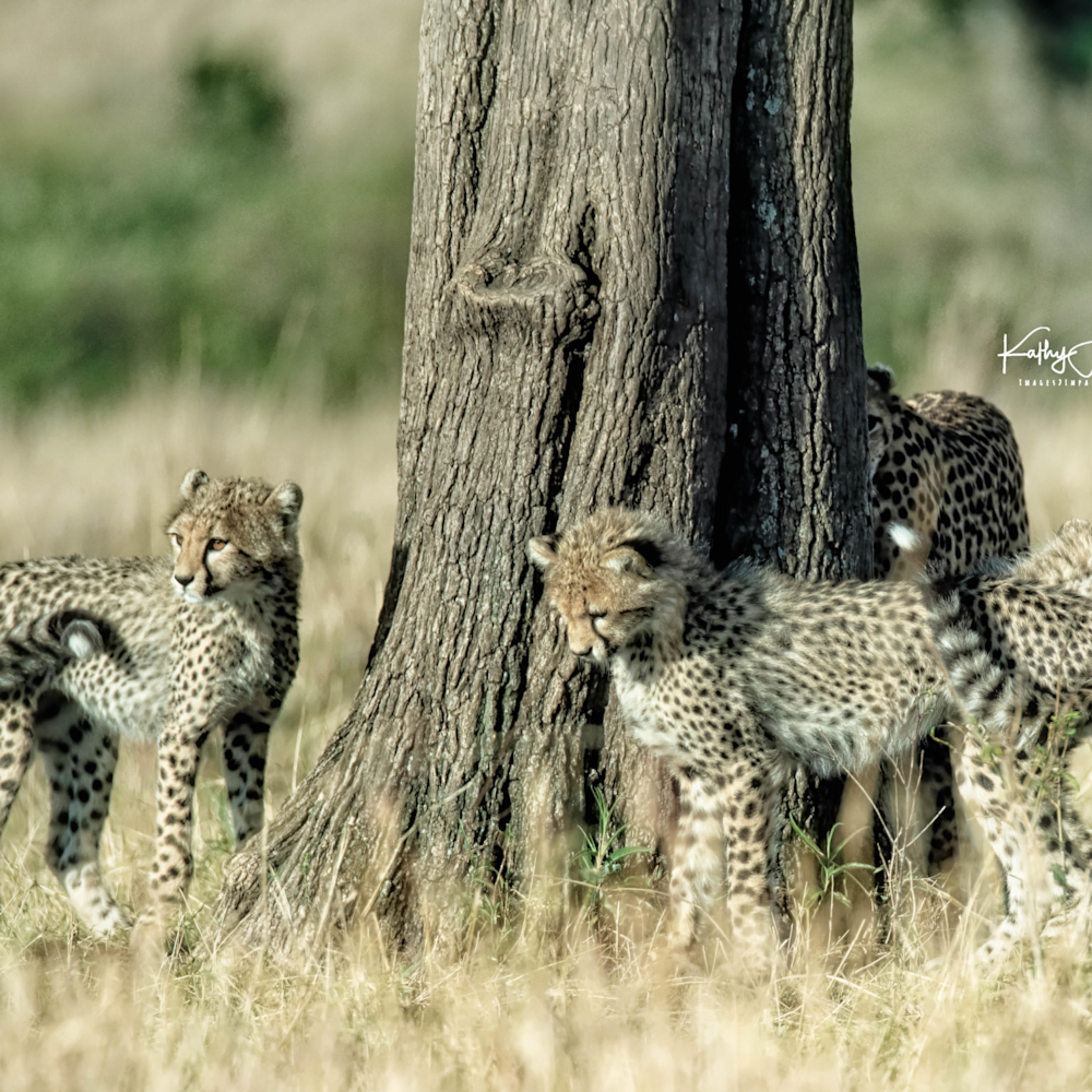 Kenya cheetah 3955 twczem