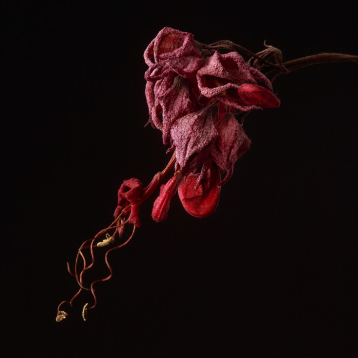 Flowers fine art decaying susan michal082 q00amw