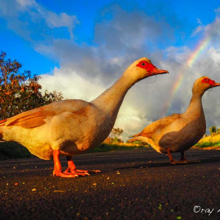 Duck crossing chz9gs