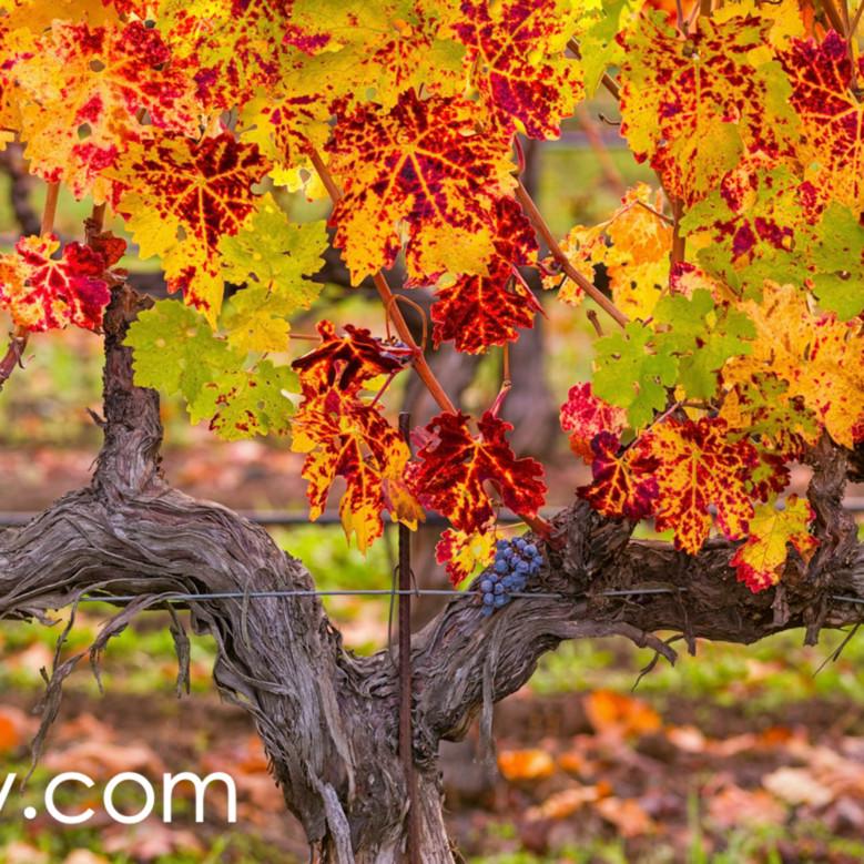 November vines onhwrv
